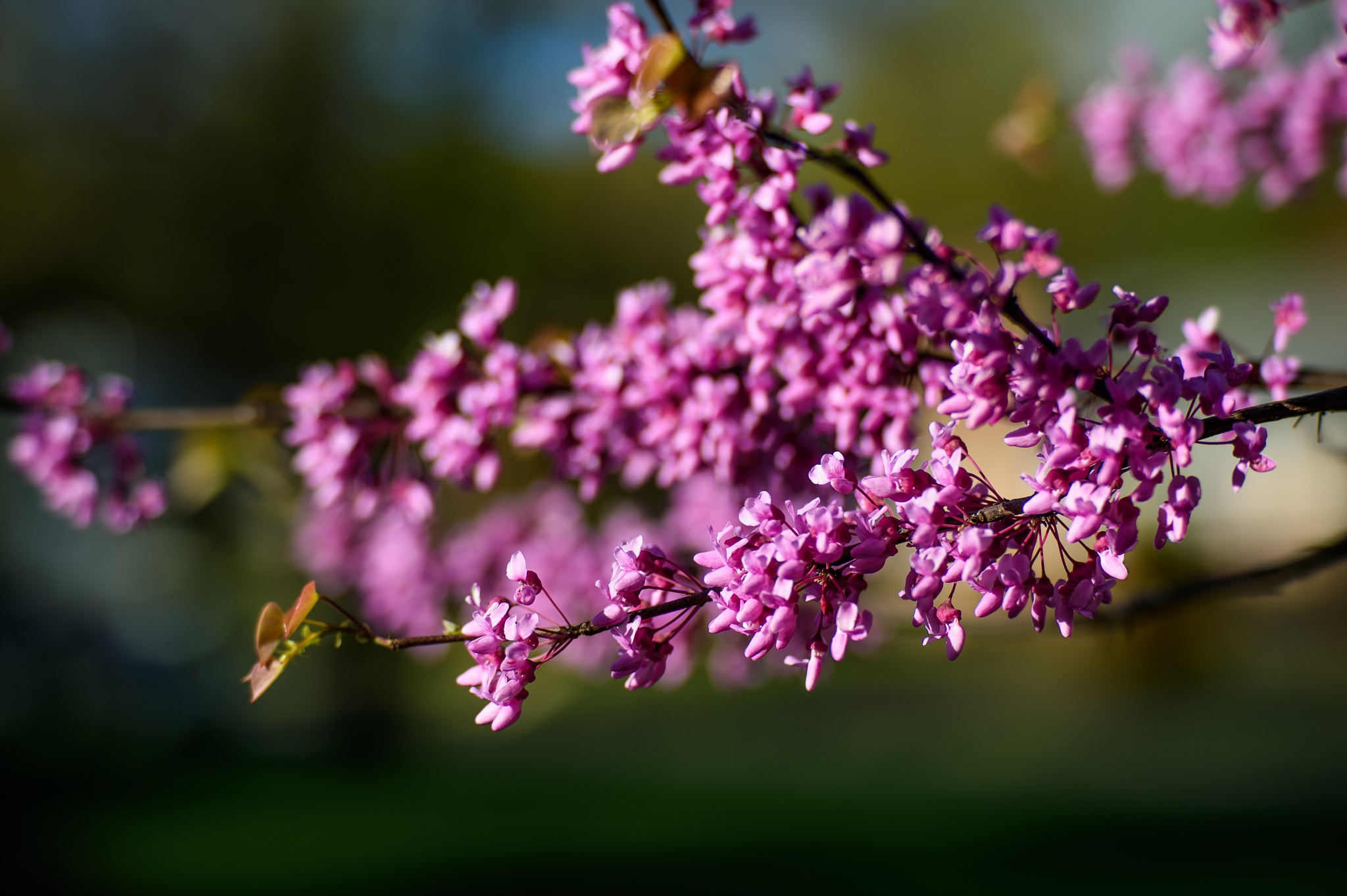 Redbud Blossoms by Geoff Livingston