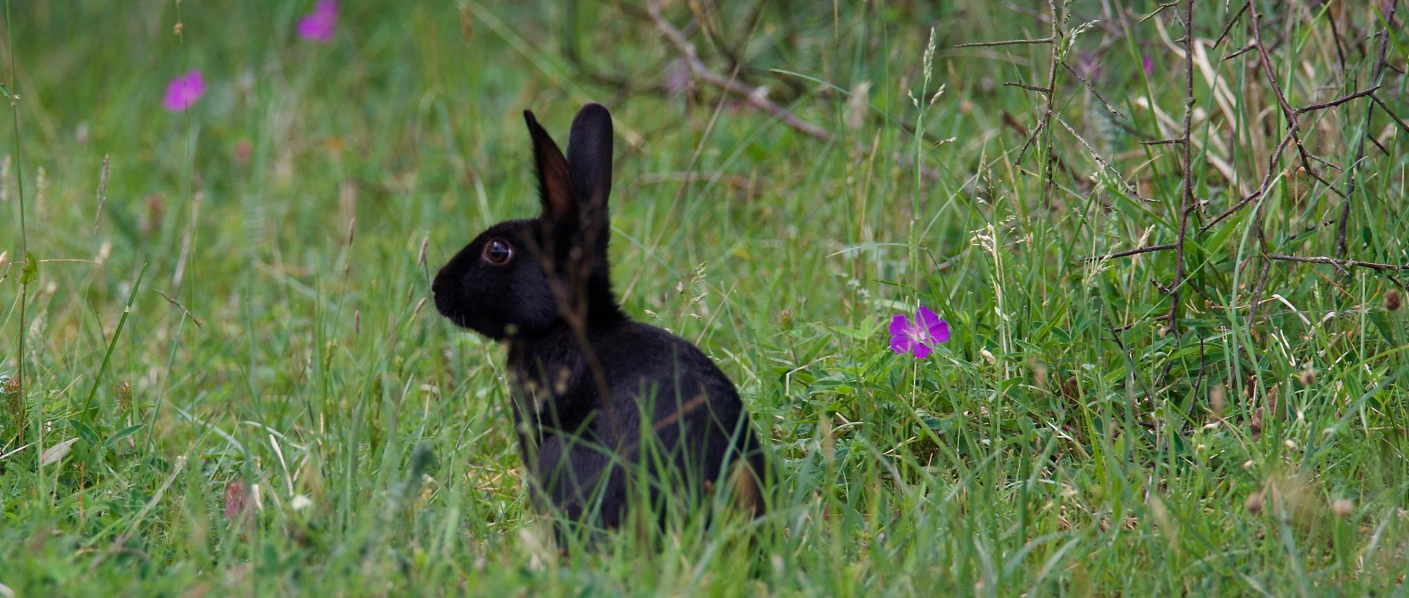 Black rabbit by Michael Pelz