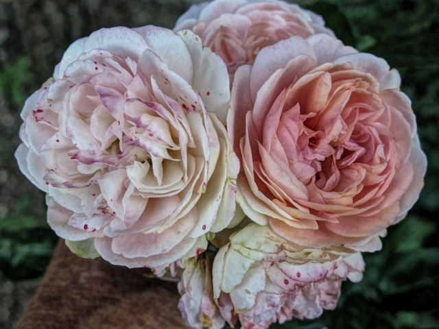 Roses with a proper smell by Nancy A Wall