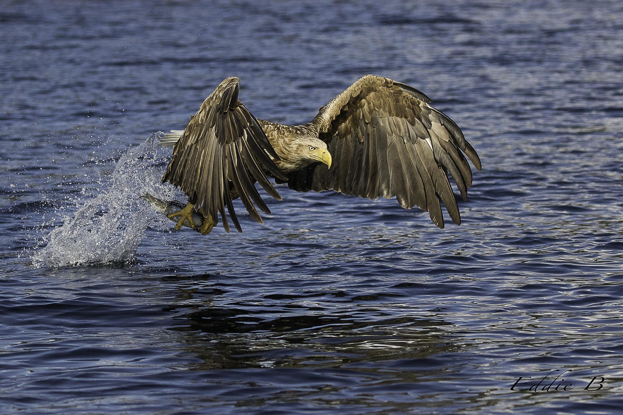 White tailed eagle taking fish. by EddieB