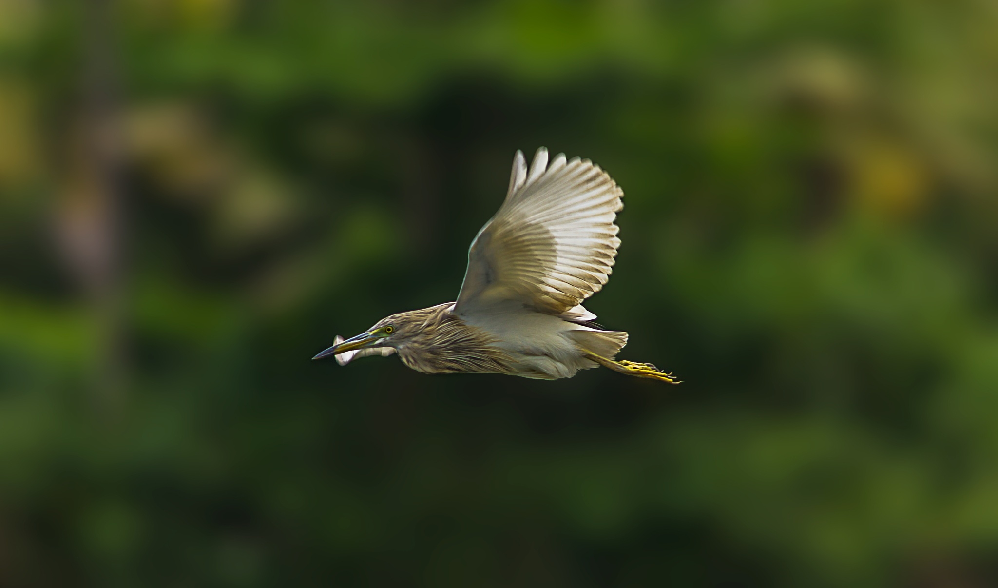 Photo in Nature #pond #heron #in #flight #bird #nature #photographyy #birdphotography #birdinflight #birdinflightphotography #lake #side #houseboat #trip #random #travel #click #canon #canon600d #shots