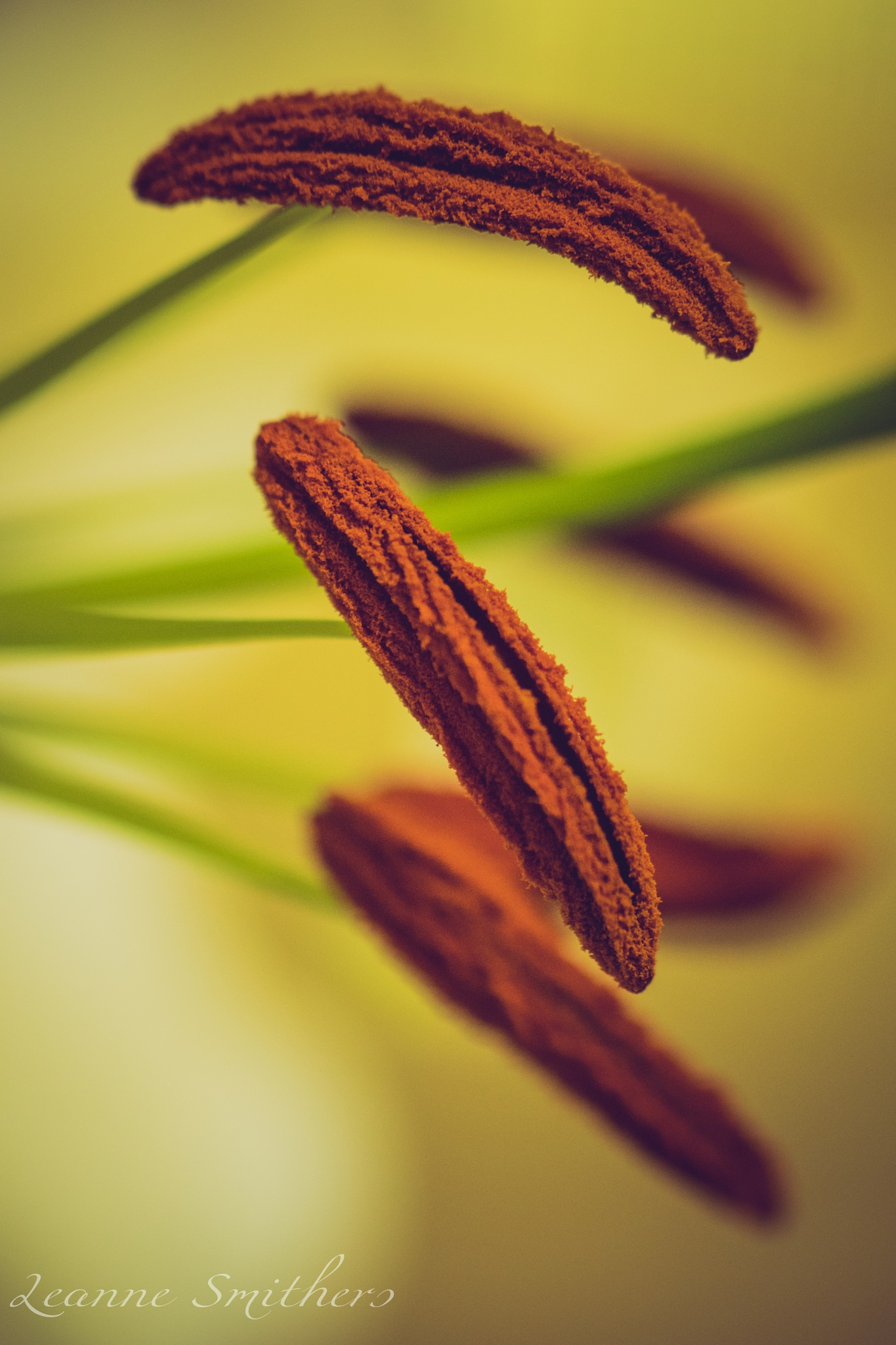 Lily stamens by Leanne Smithers
