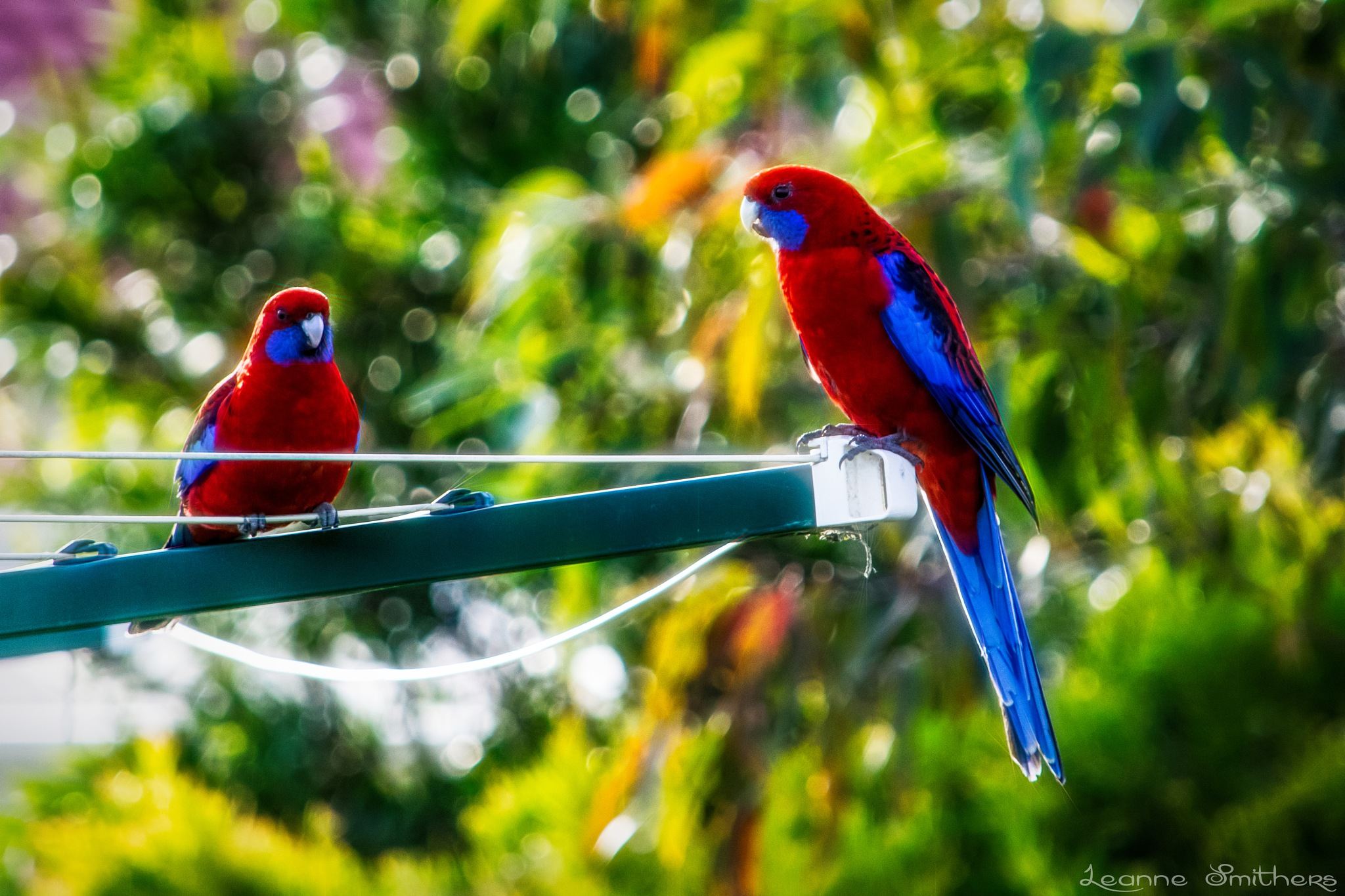 Crimson Rosellas  by Leanne Smithers