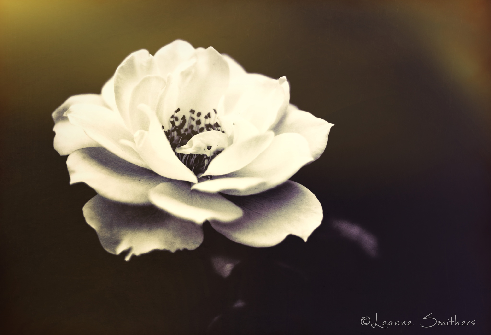 White Rose by Leanne Smithers 🇦🇺