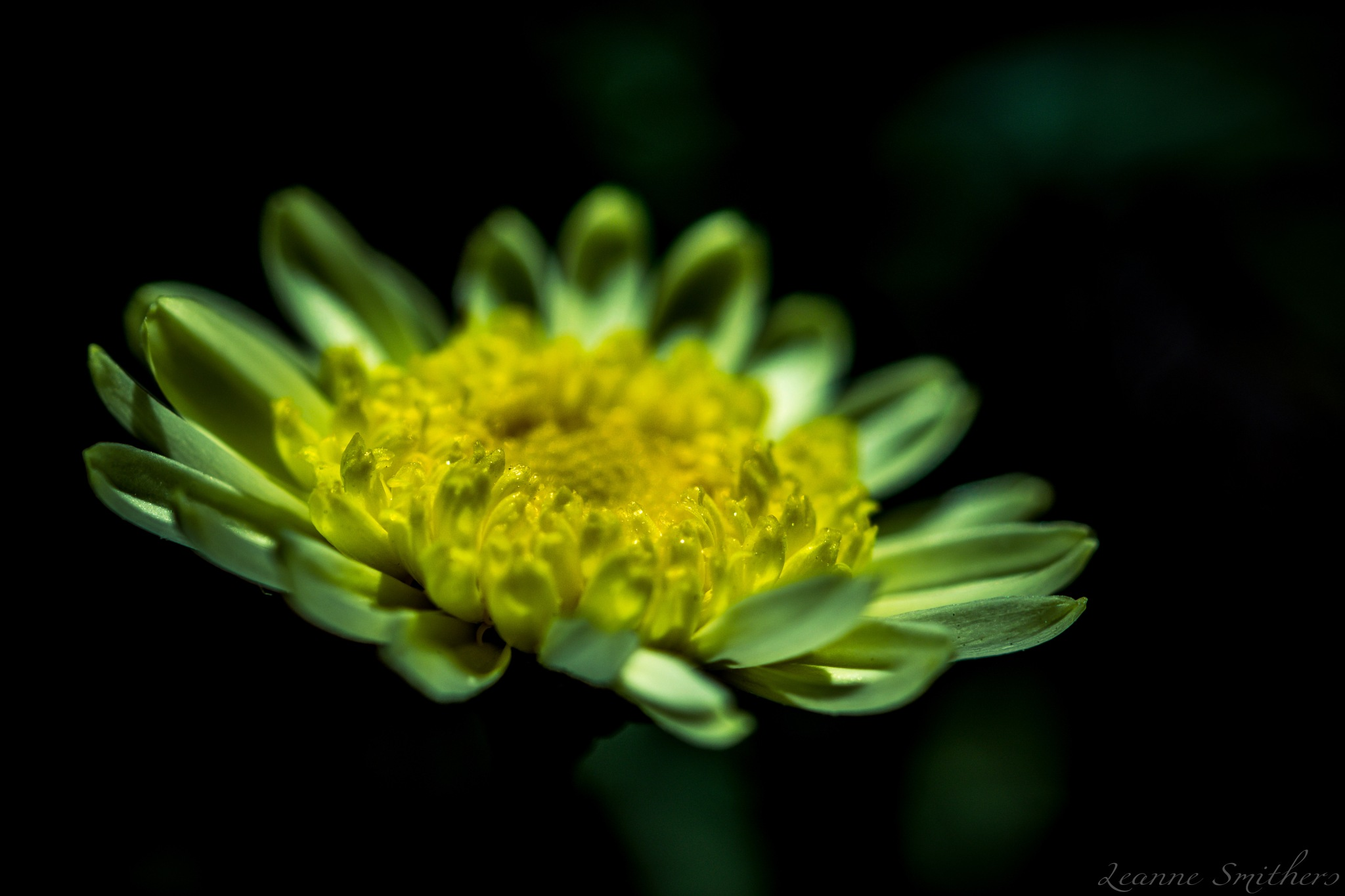 Daisy by Leanne Smithers