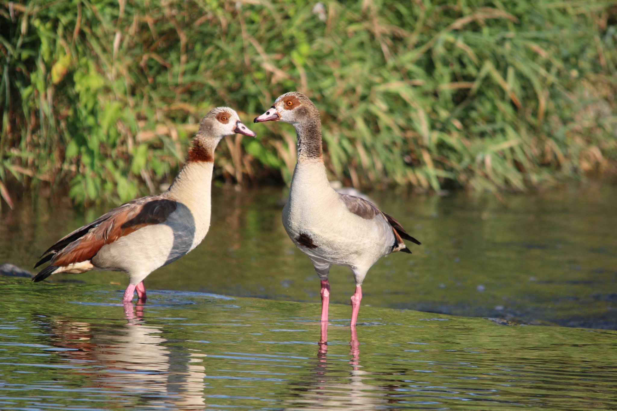 Nilgans by Karl Dulleck