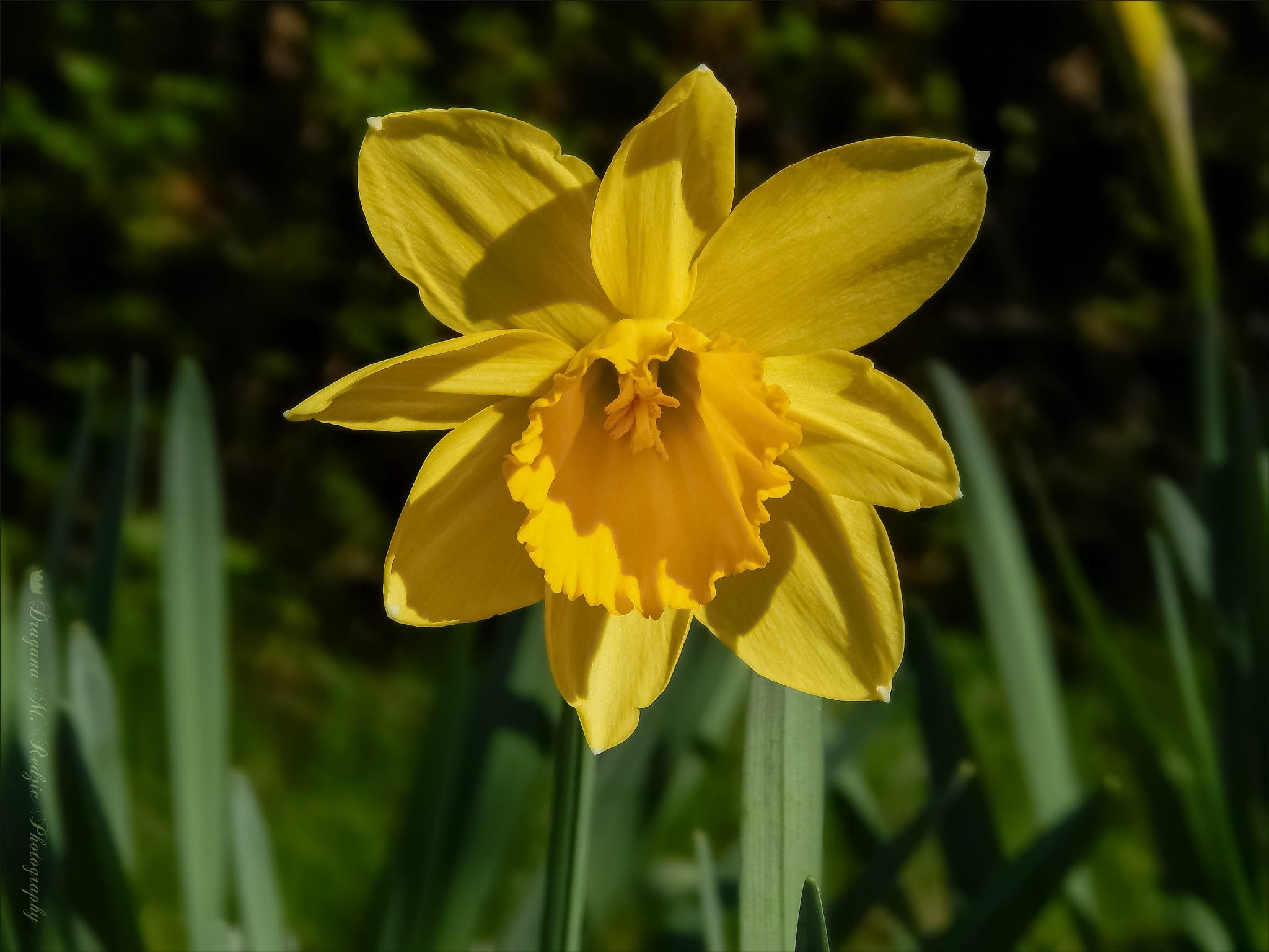 "Narcissus L. ""Dutch Master"" ~ Narcis by Драгана М. Реџић"