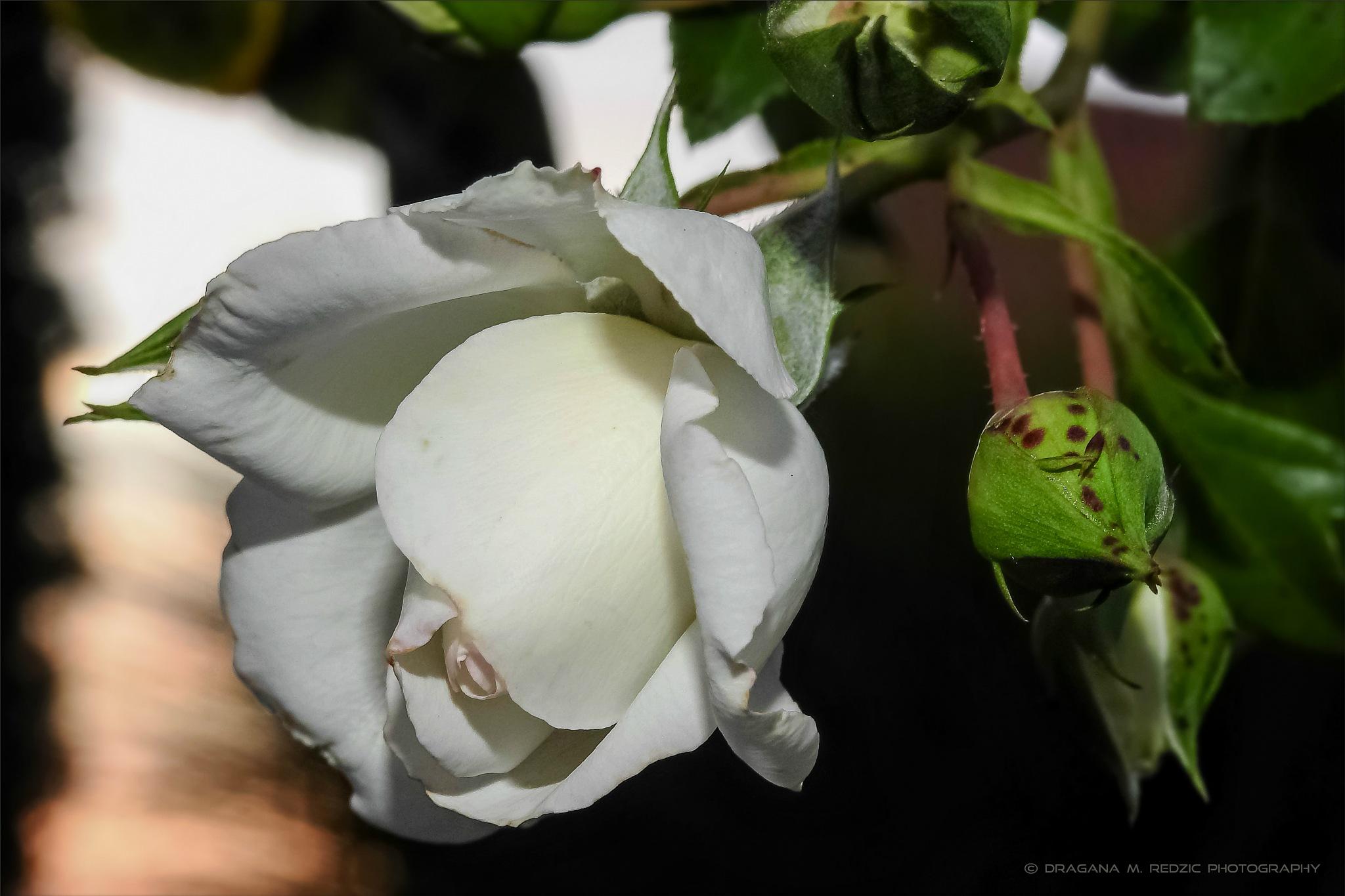 White rosebud ~ Rosula alba L. by Драгана М. Реџић
