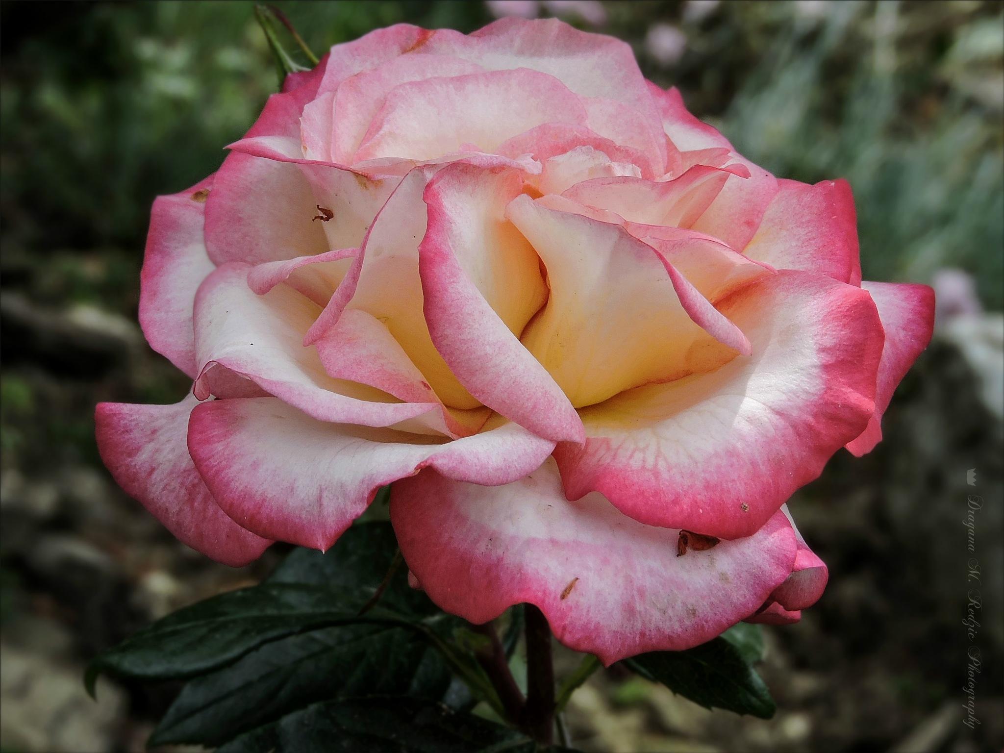 Rose ... by Драгана М. Реџић