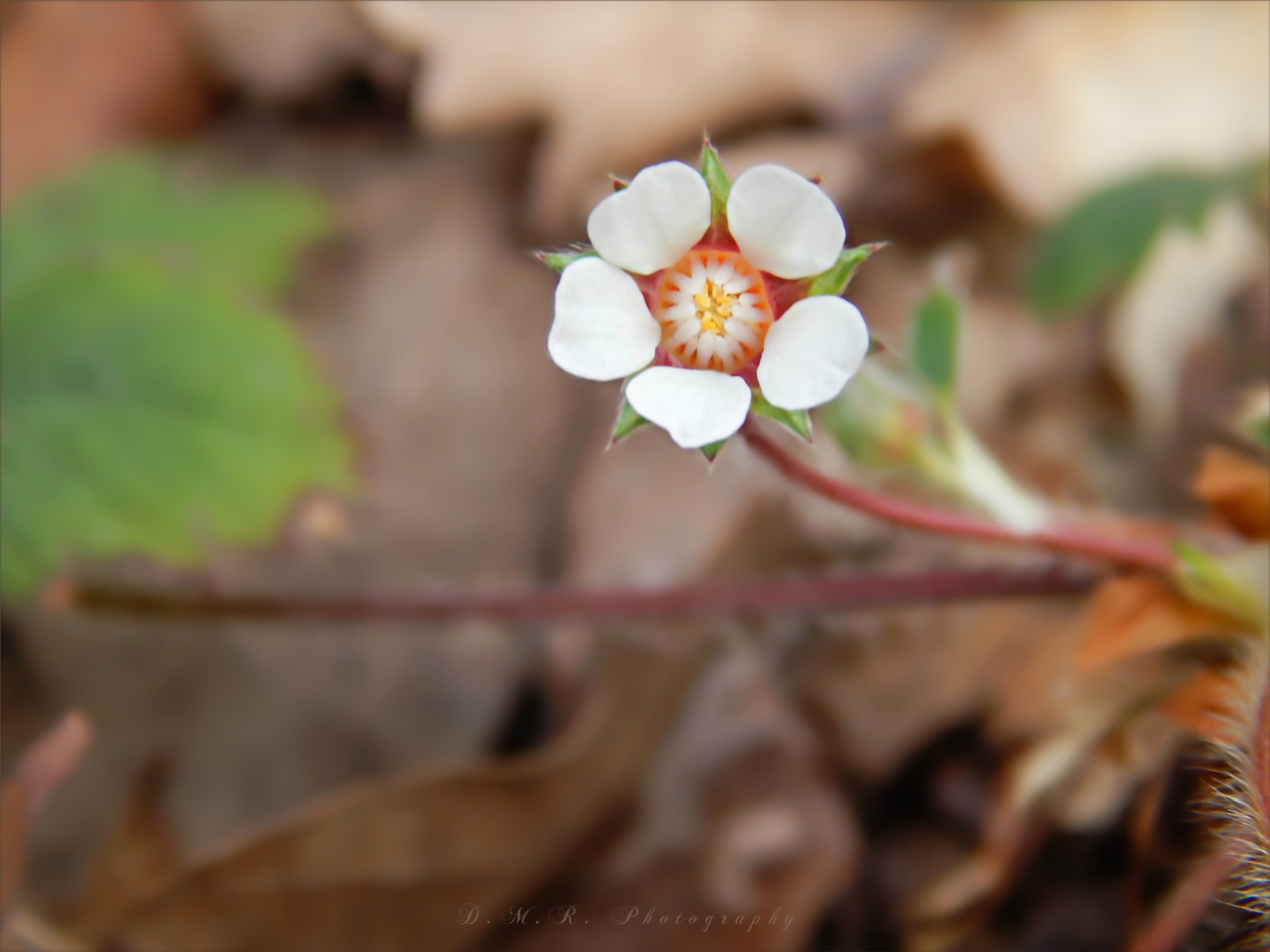 Potentilla micrantha L. ~ Barren strawberry ~ Jalova jagoda by Драгана М. Реџић