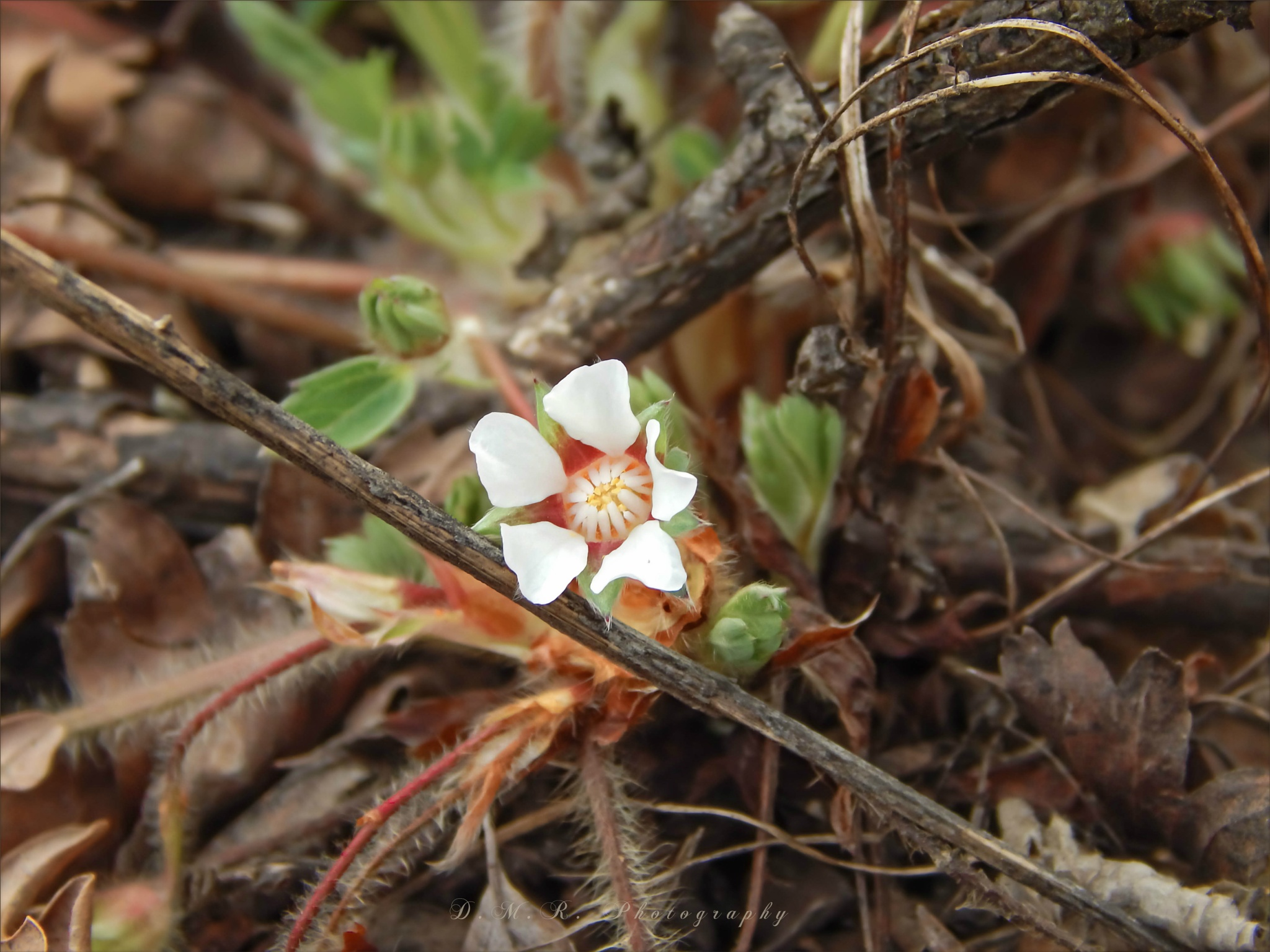Potentilla micrantha L. ~ Barren strawberry ~ Jalova jagoda by Драгана М. Реџић