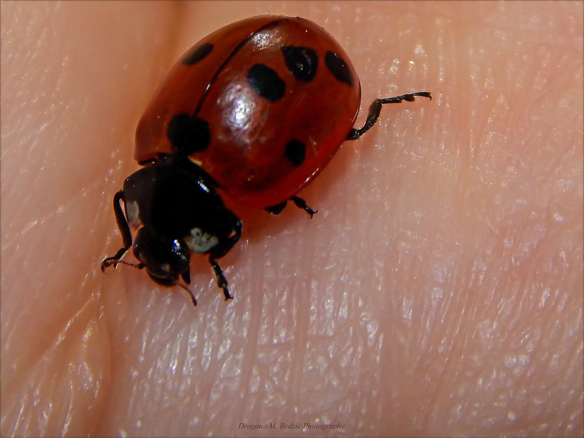 Biting for the palm... ~ Coccinela septempunctata L. ~ Ladybird with point more. by Драгана М. Реџић