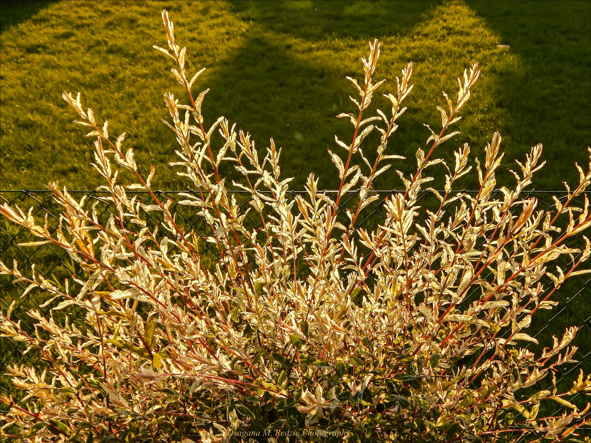 Photo in Still Life #japanese willow colorful leave #salix integra l. #detail in my garden #still life