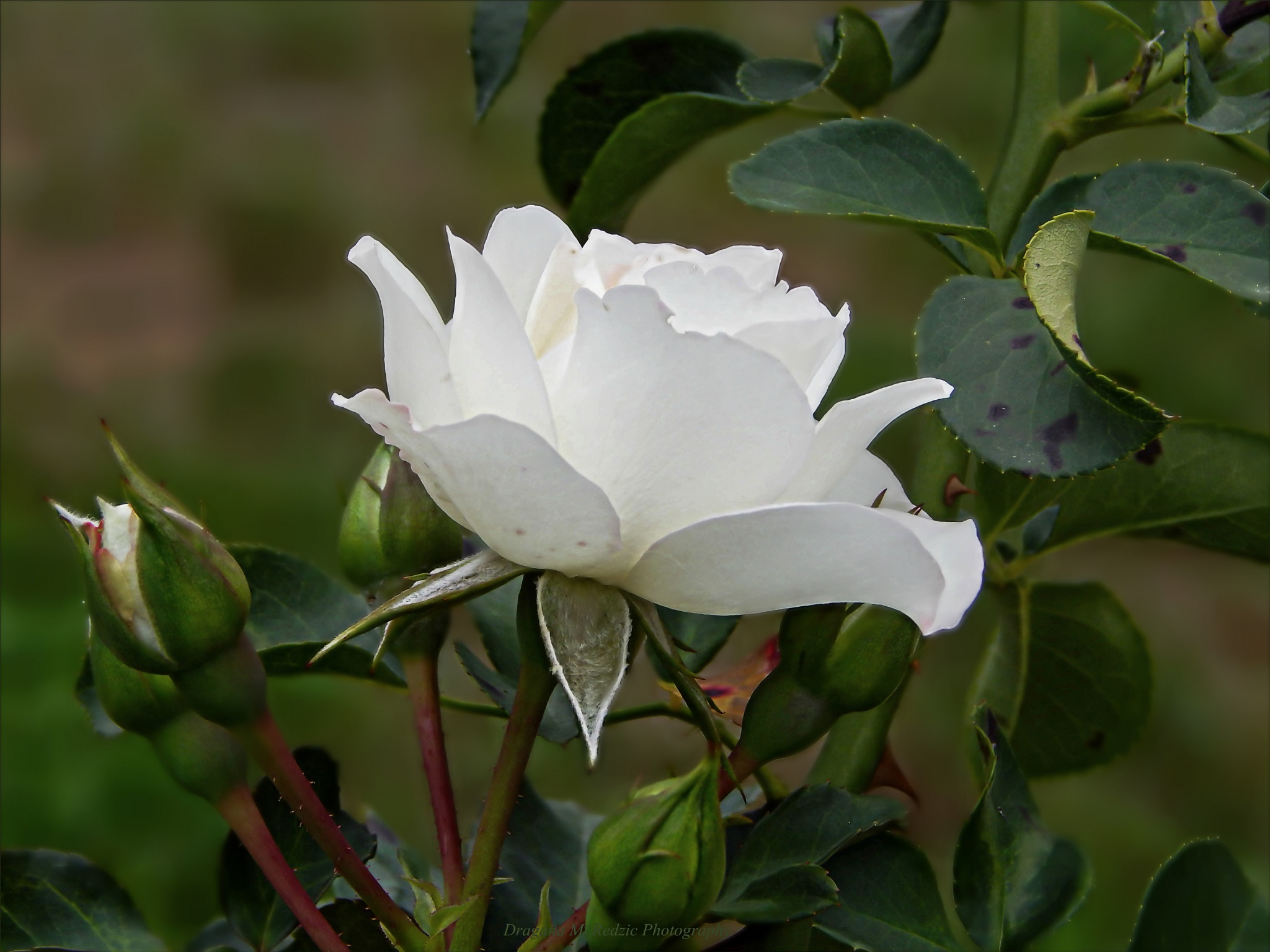 Rosa alba L. ~ White rose ~ Bela ruža by Драгана М. Реџић