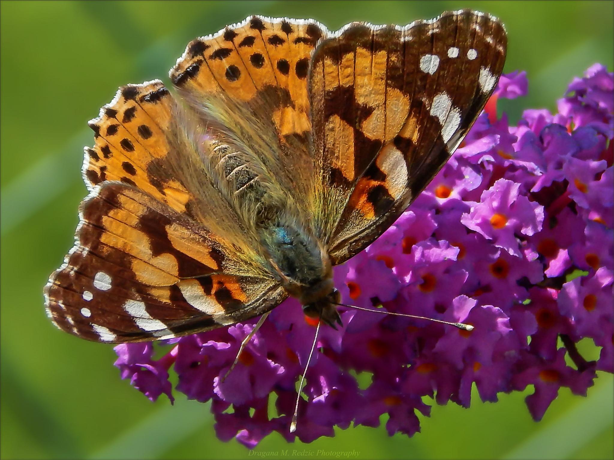 Lepidoptera: Nymphalidae: Vanessa cardui L. by Драгана М. Реџић