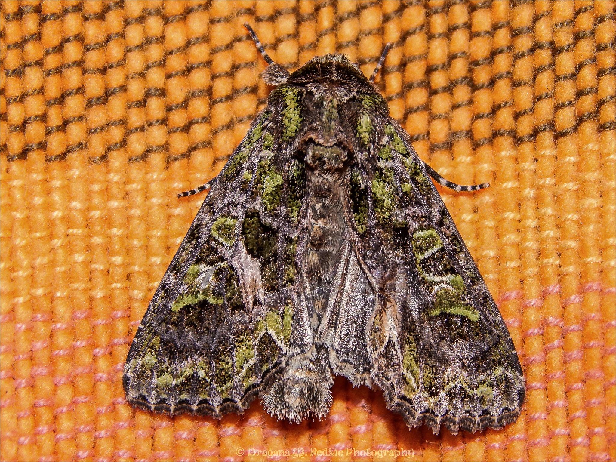 Orache Moth ~ Trachea atriplicis L. by Драгана М. Реџић