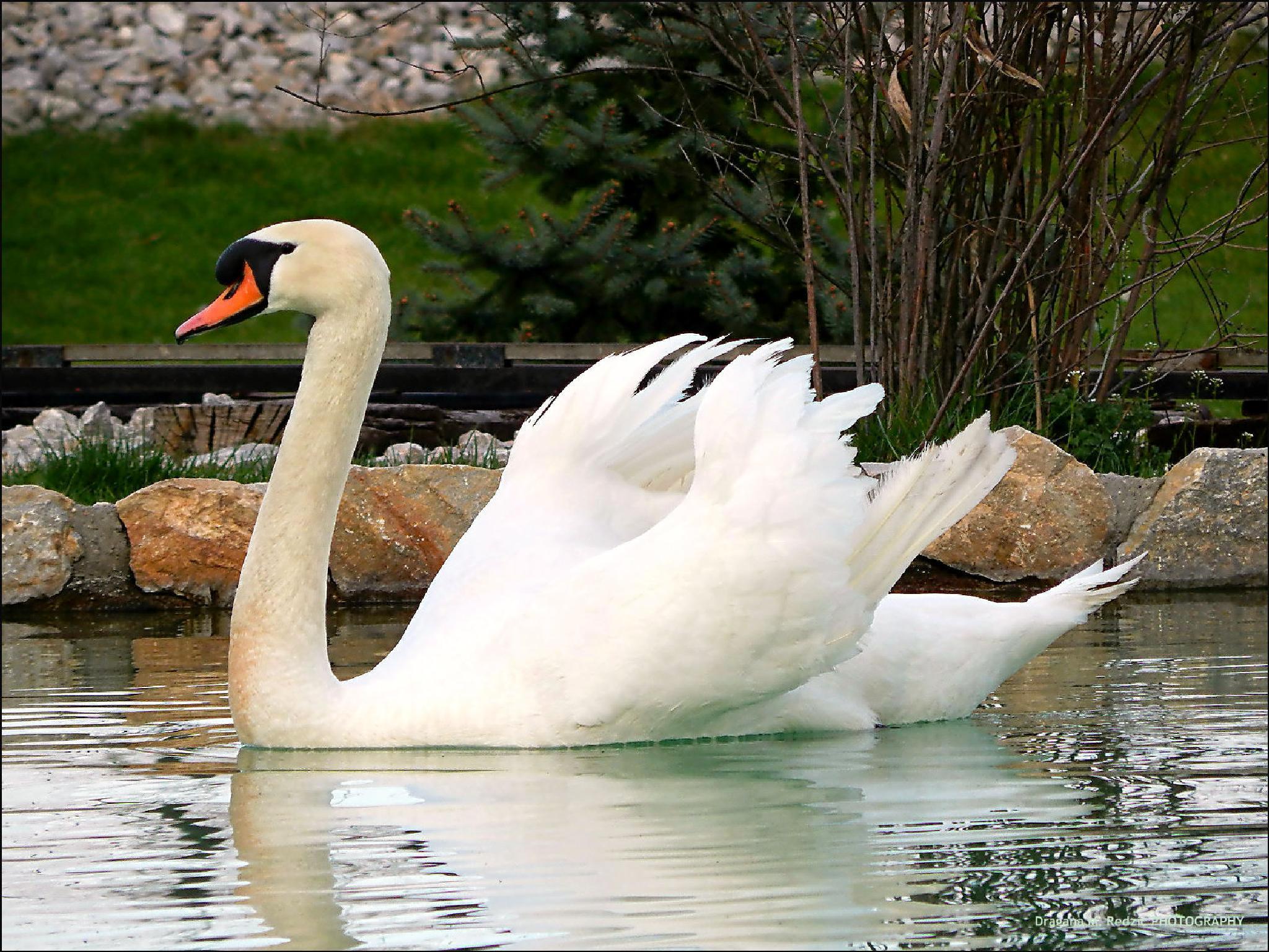 White swan by Драгана М. Реџић