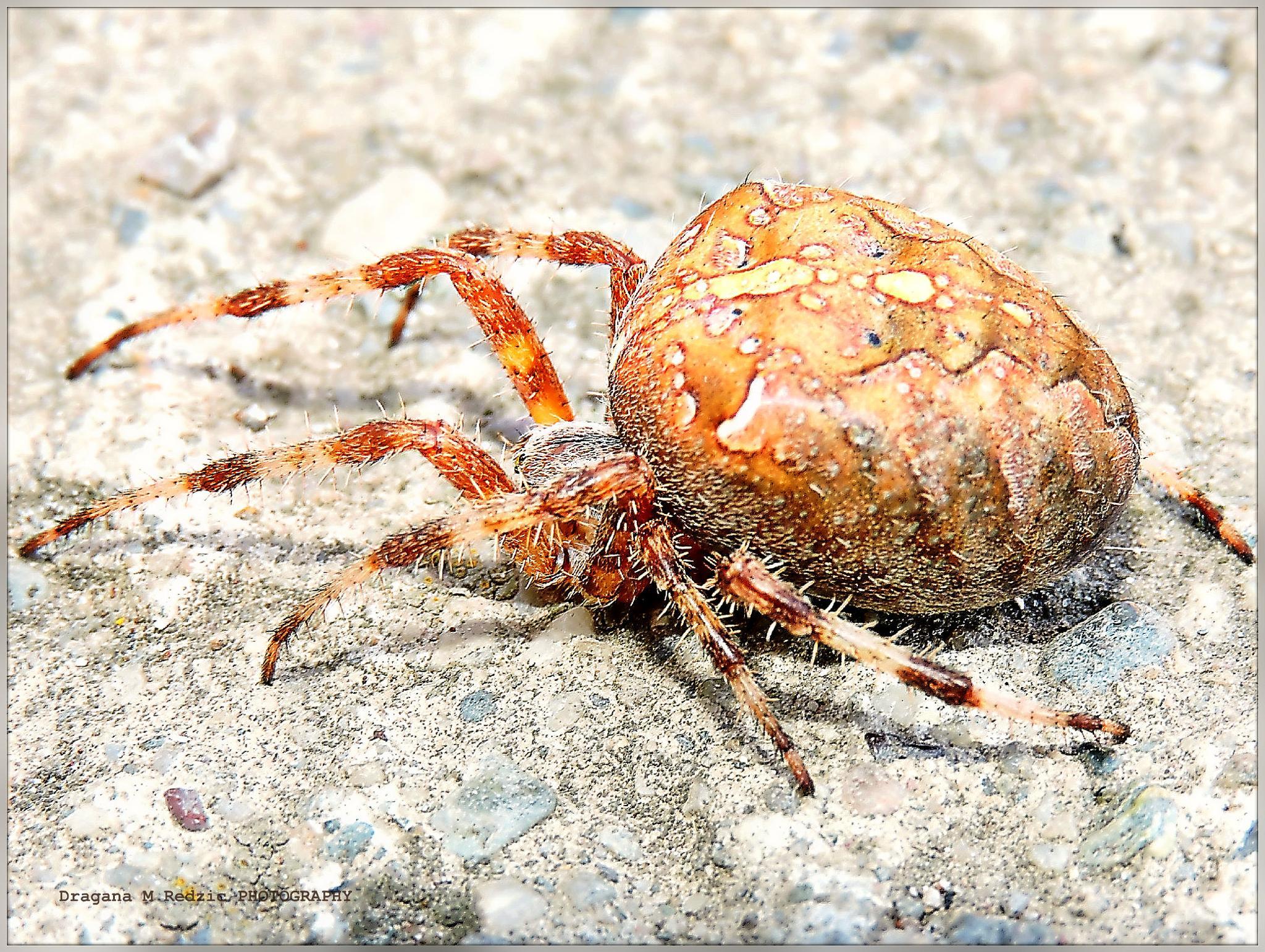 ~ The European garden spider ~ CROSS SPIDER (female) ~ PAUK KRSTAŠ (ženka) ~ Araneus diadematus (fe by Драгана М. Реџић