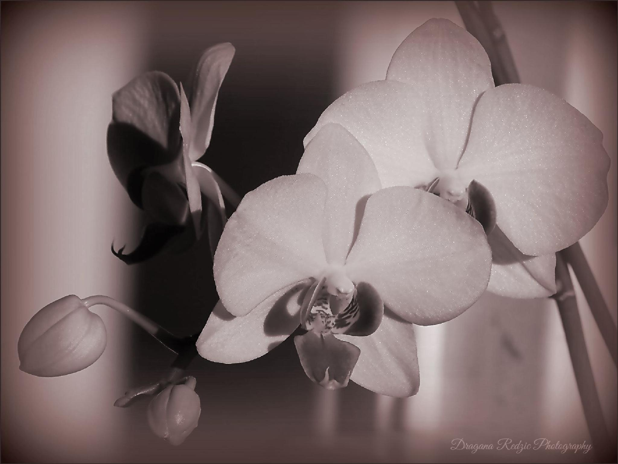 Orchids by Драгана М. Реџић