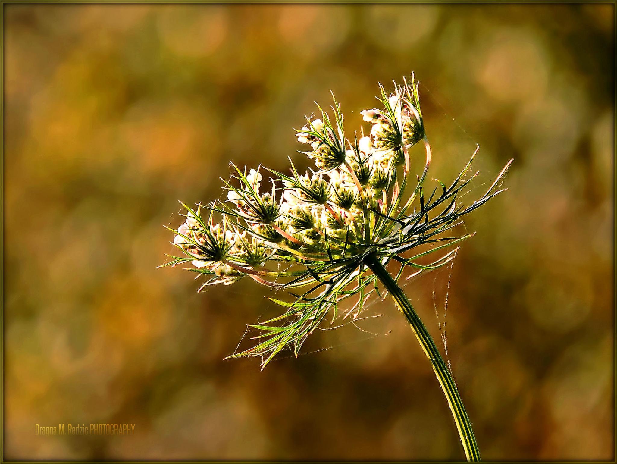 Daucus carota L. by Драгана М. Реџић
