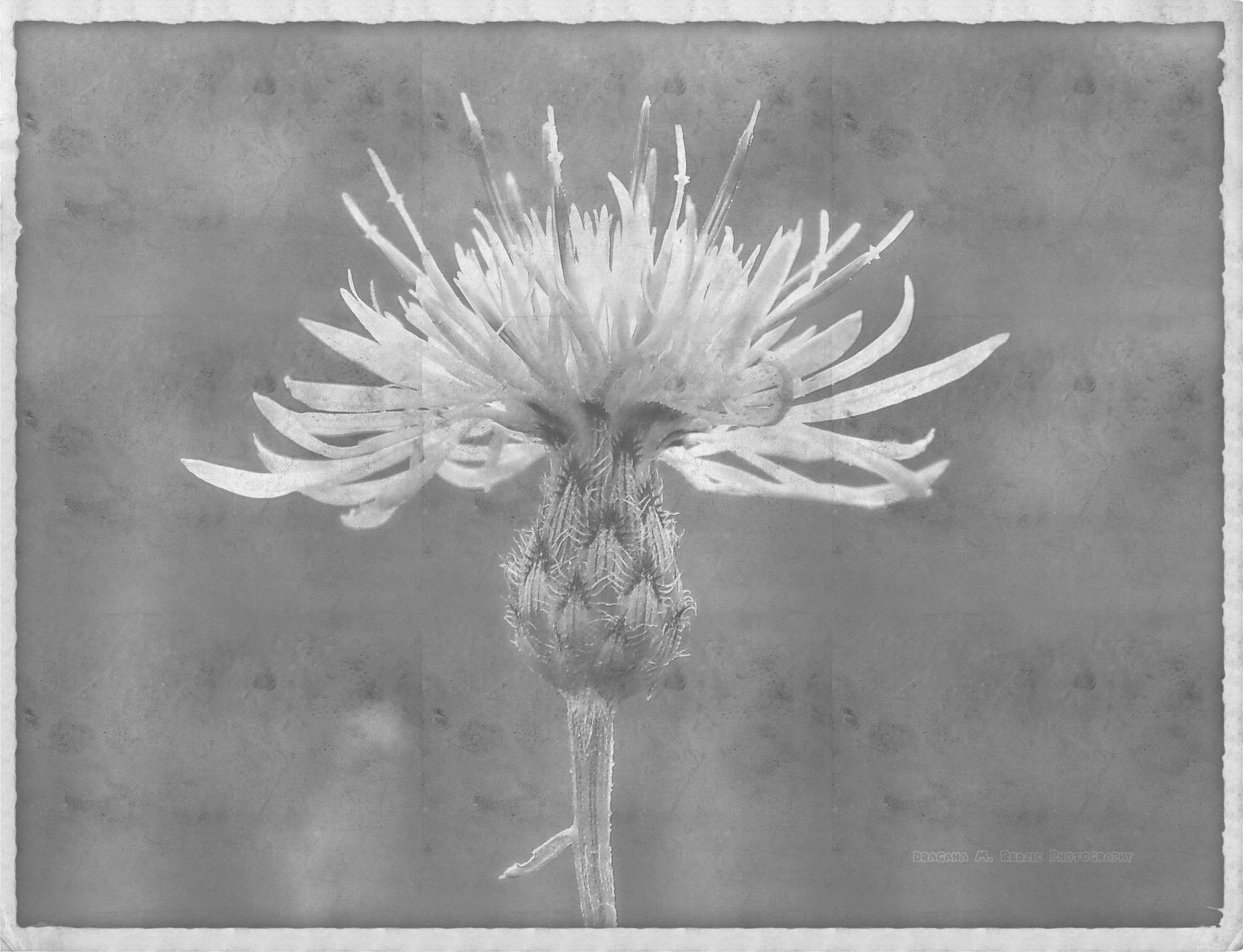 Centaurea stoebe L. ssp.  ~ Art photo (old photo/B&W) by Драгана М. Реџић