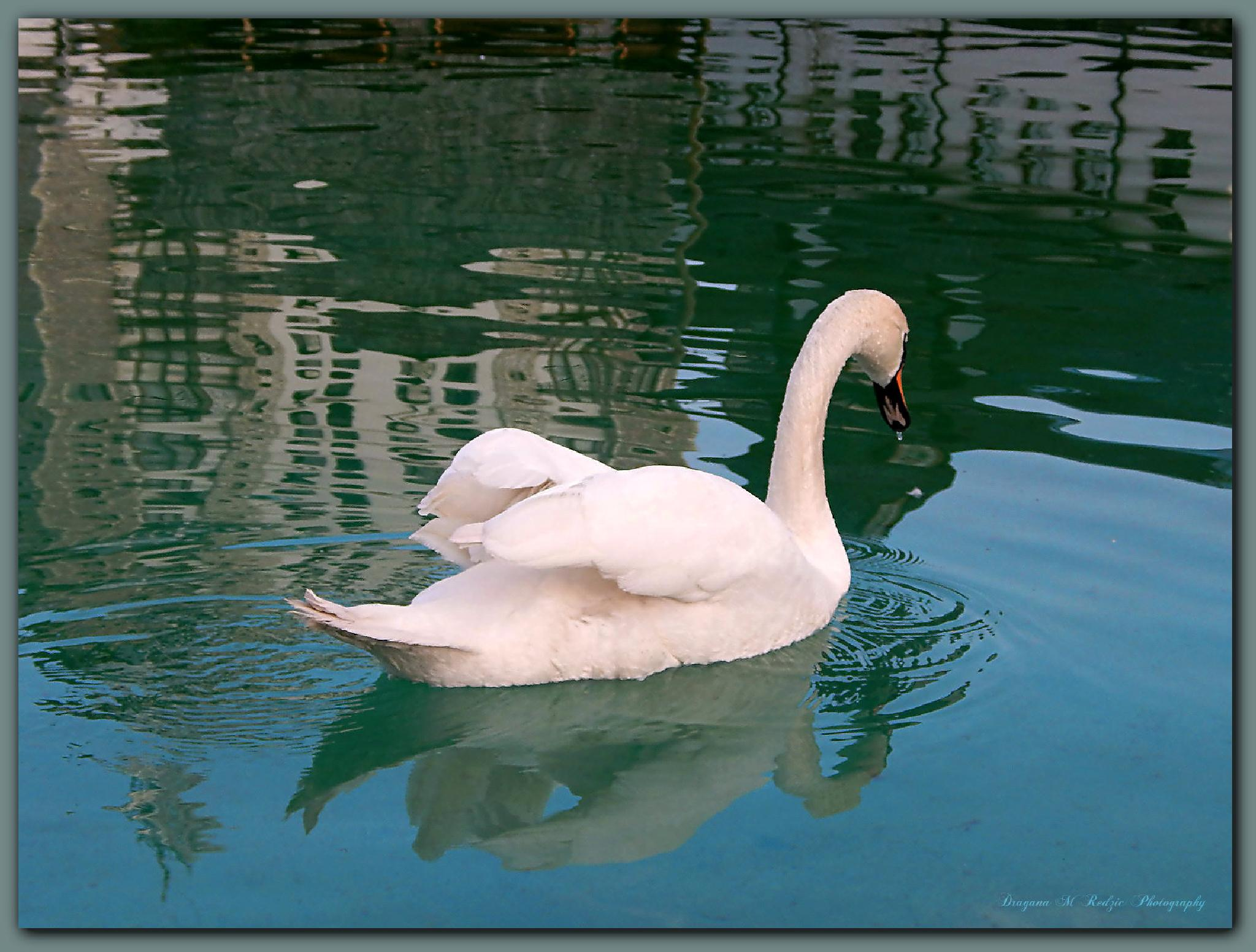 "White swan from ""Ethno Village Stanisici""... ♥ by Драгана М. Реџић"