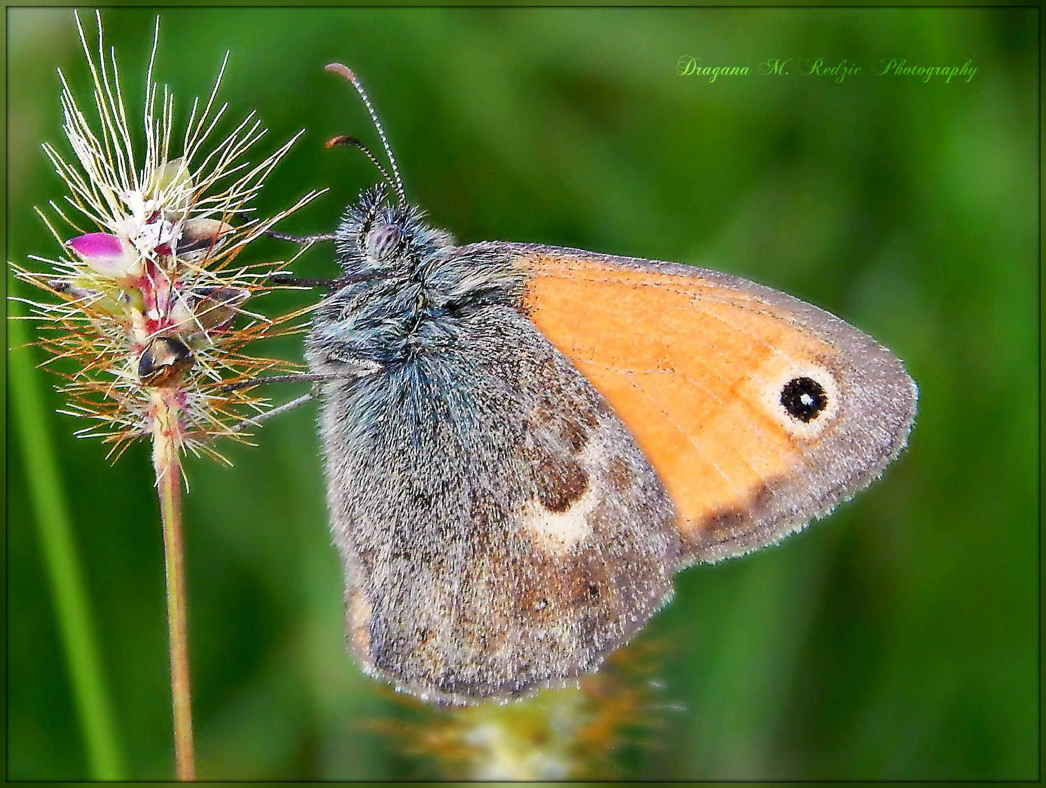Coenonympha pamphilus L. by Драгана М. Реџић