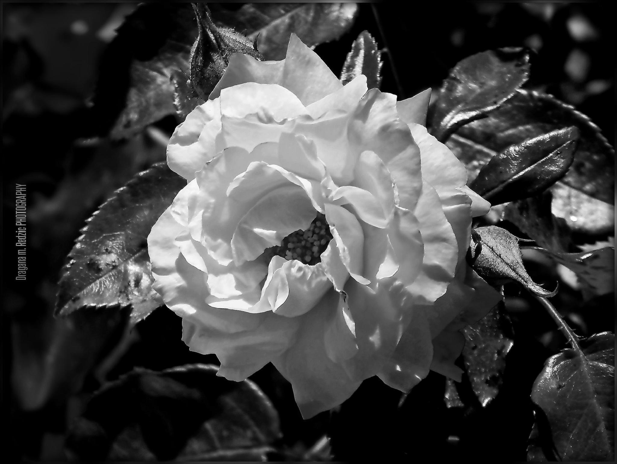 Rosa L. by Драгана М. Реџић