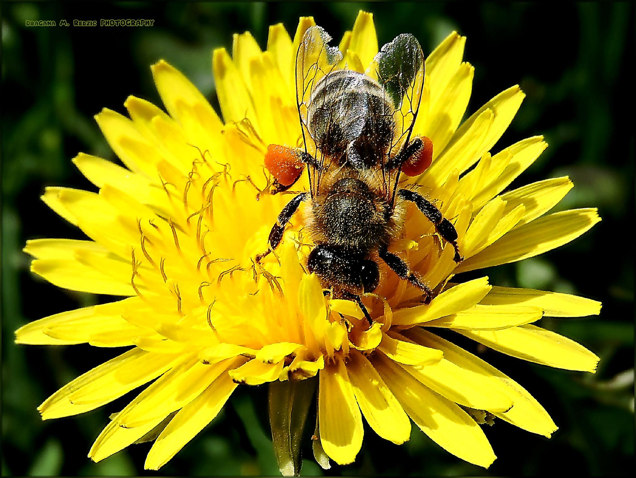 Apis mellifera & Taraxacum L. ~ Bee & Dandelion by Драгана М. Реџић