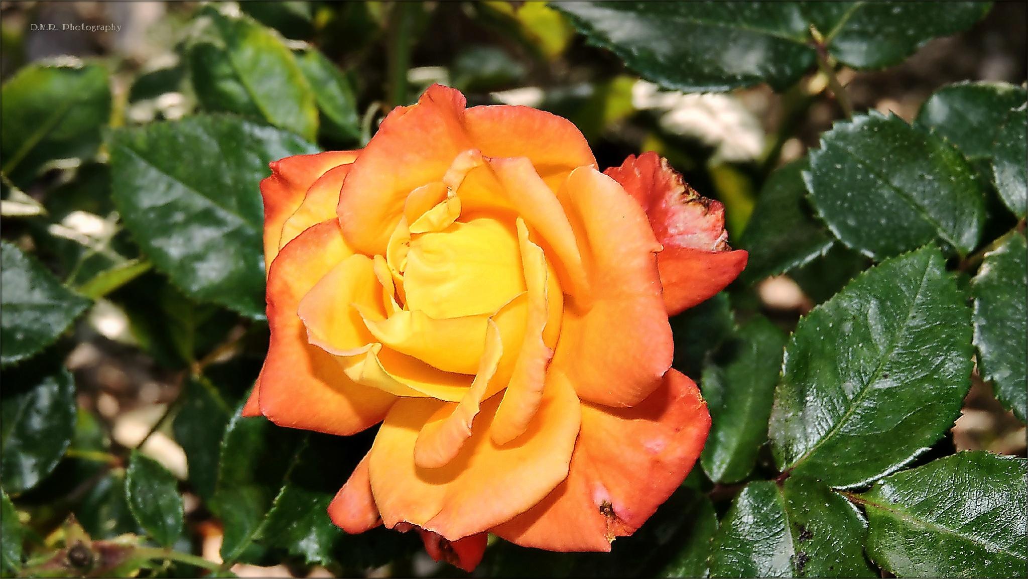 Portrait of rose ... by Драгана М. Реџић