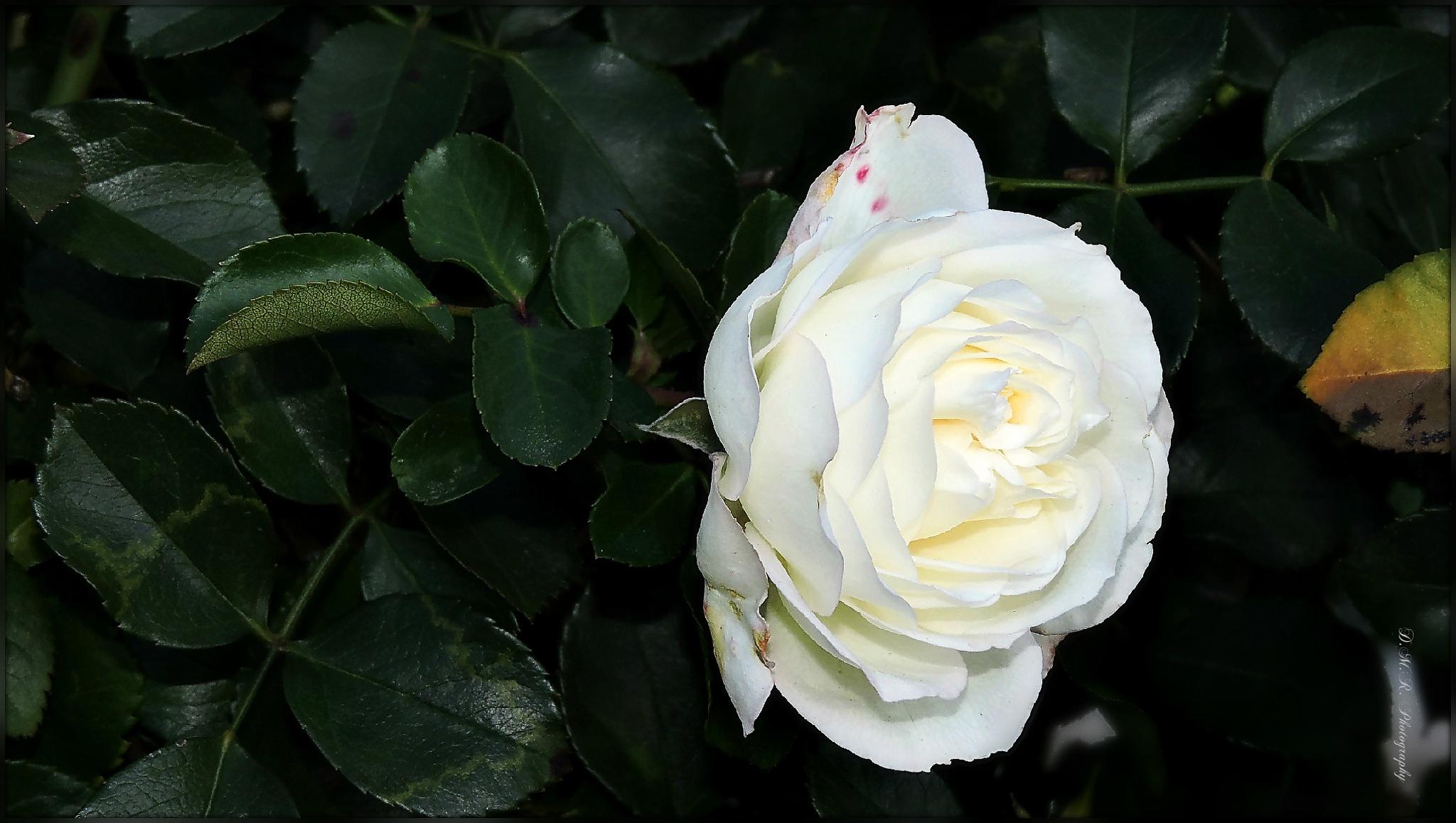 Rosa alba L. by Драгана М. Реџић