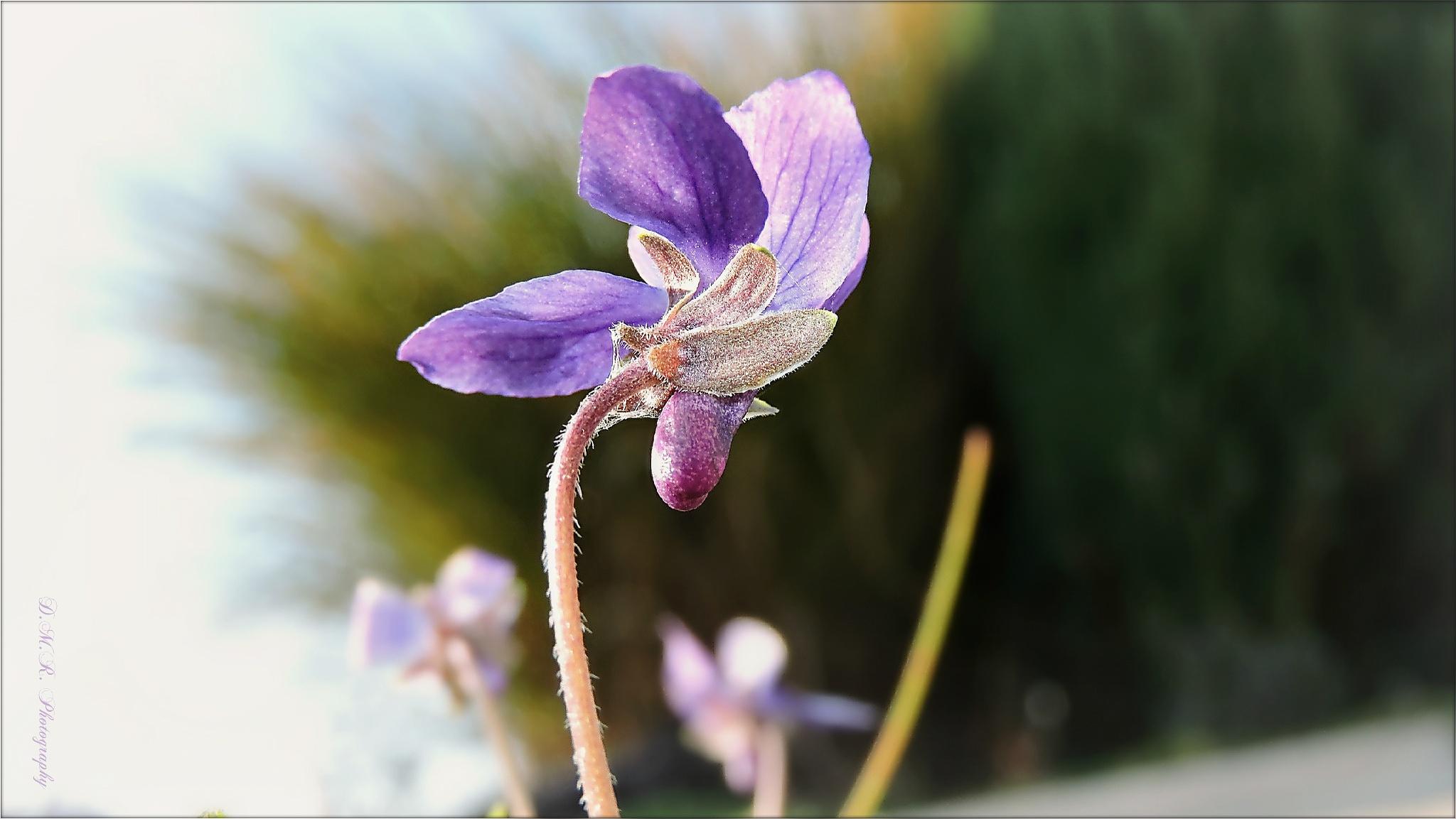 Viola sp. (flos) L. by Драгана М. Реџић