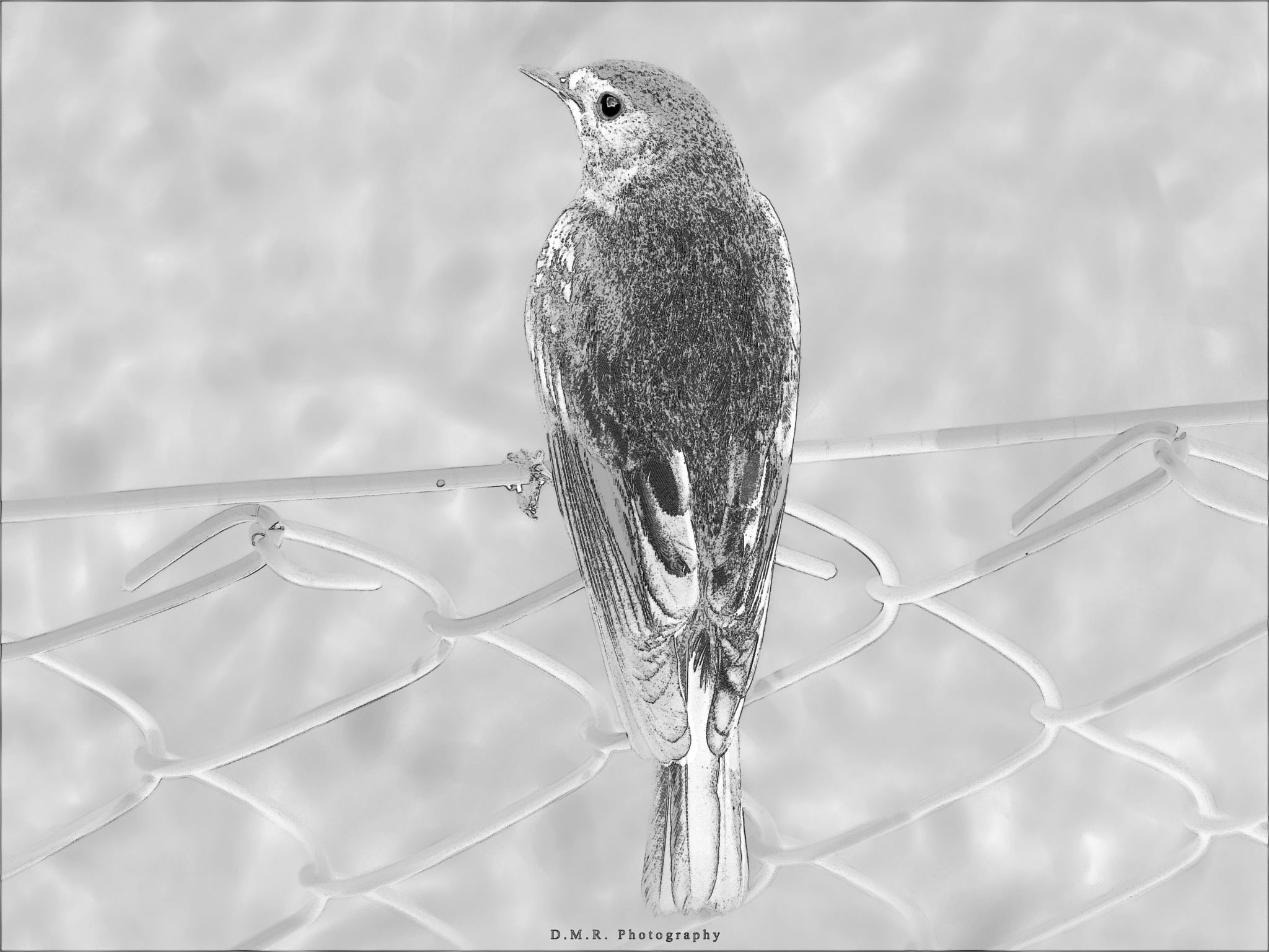 BLACK REDSTART (male) ~ CRVENOREPKA (mužjak) ~ Phoenicurus ochruros (m) L.  by Драгана М. Реџић