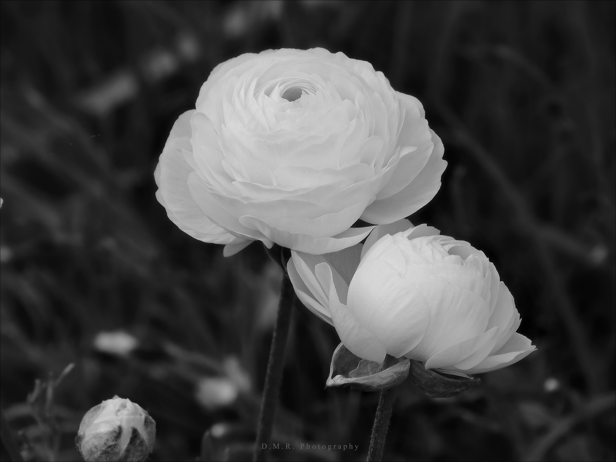 Ranunculus L.  by Драгана М. Реџић