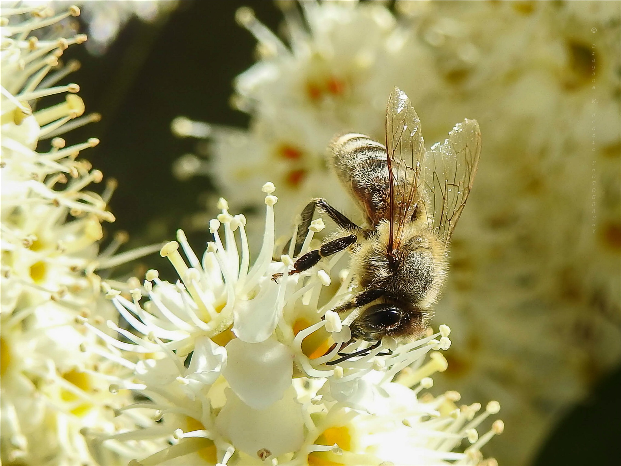 Photo in Macro #busy bee #on the top #of the flower #macro