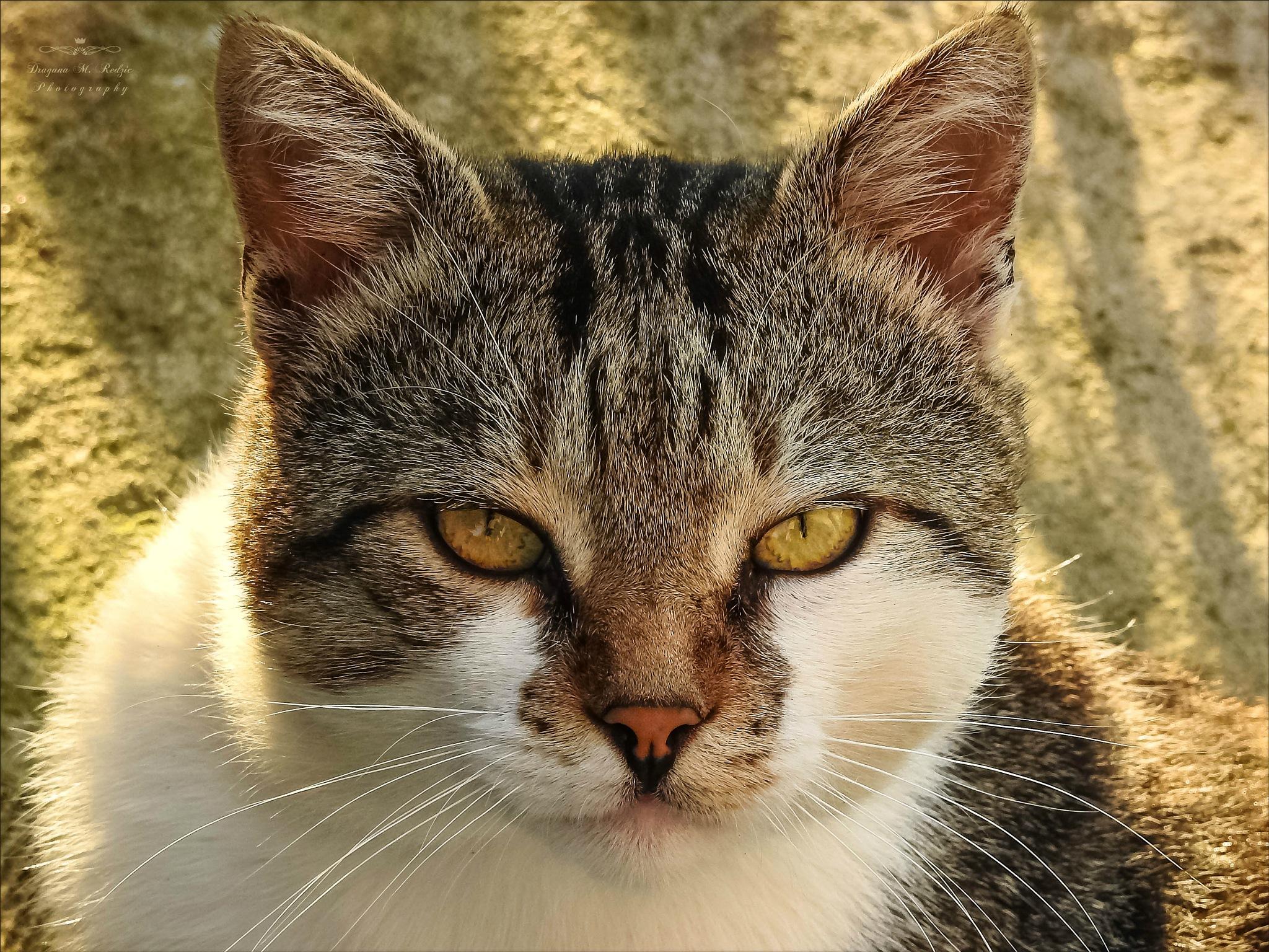 Serious Cat - Cat Tom by Драгана М. Реџић