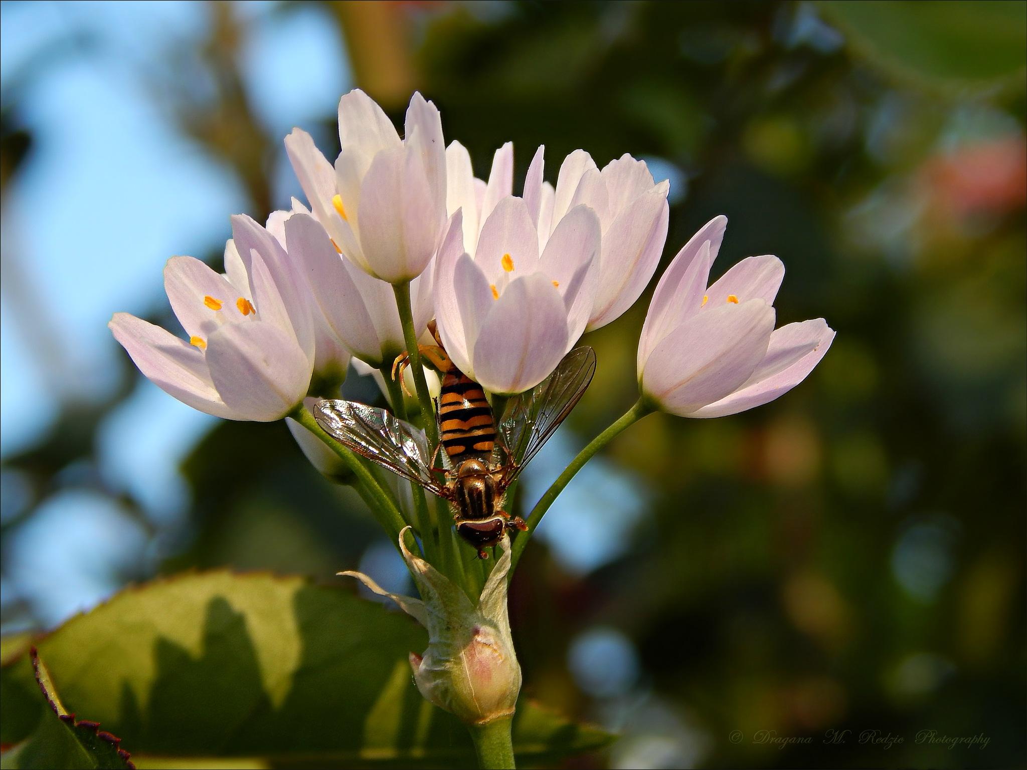Украсни лук и цветна мува - Allium Roseum et diptera Sphaerophoria-sulphuripes (m) l. by Драгана М. Реџић
