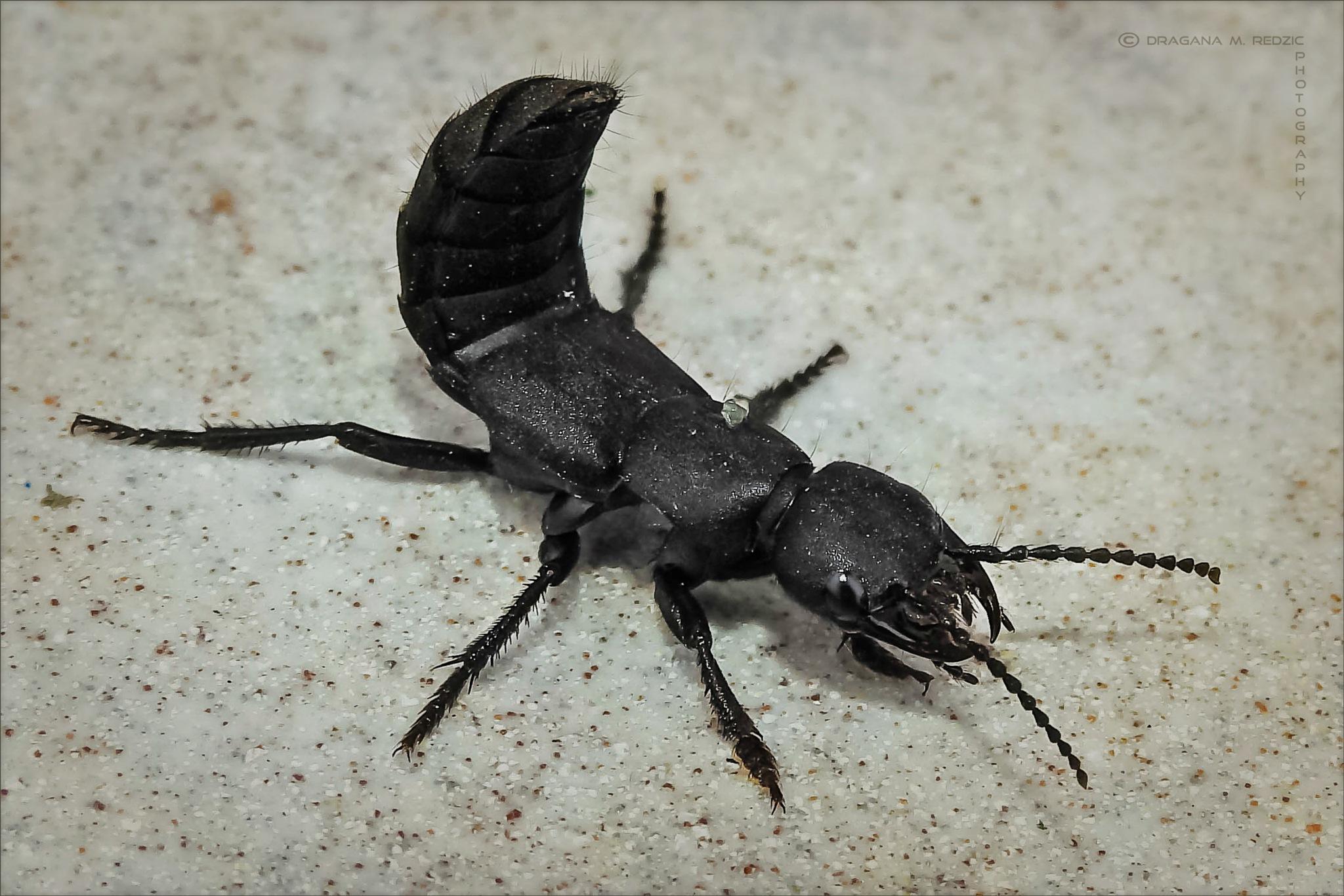 Đavolja buba ~ Devil's beetle ~ Ocypus olens L. by Драгана М. Реџић
