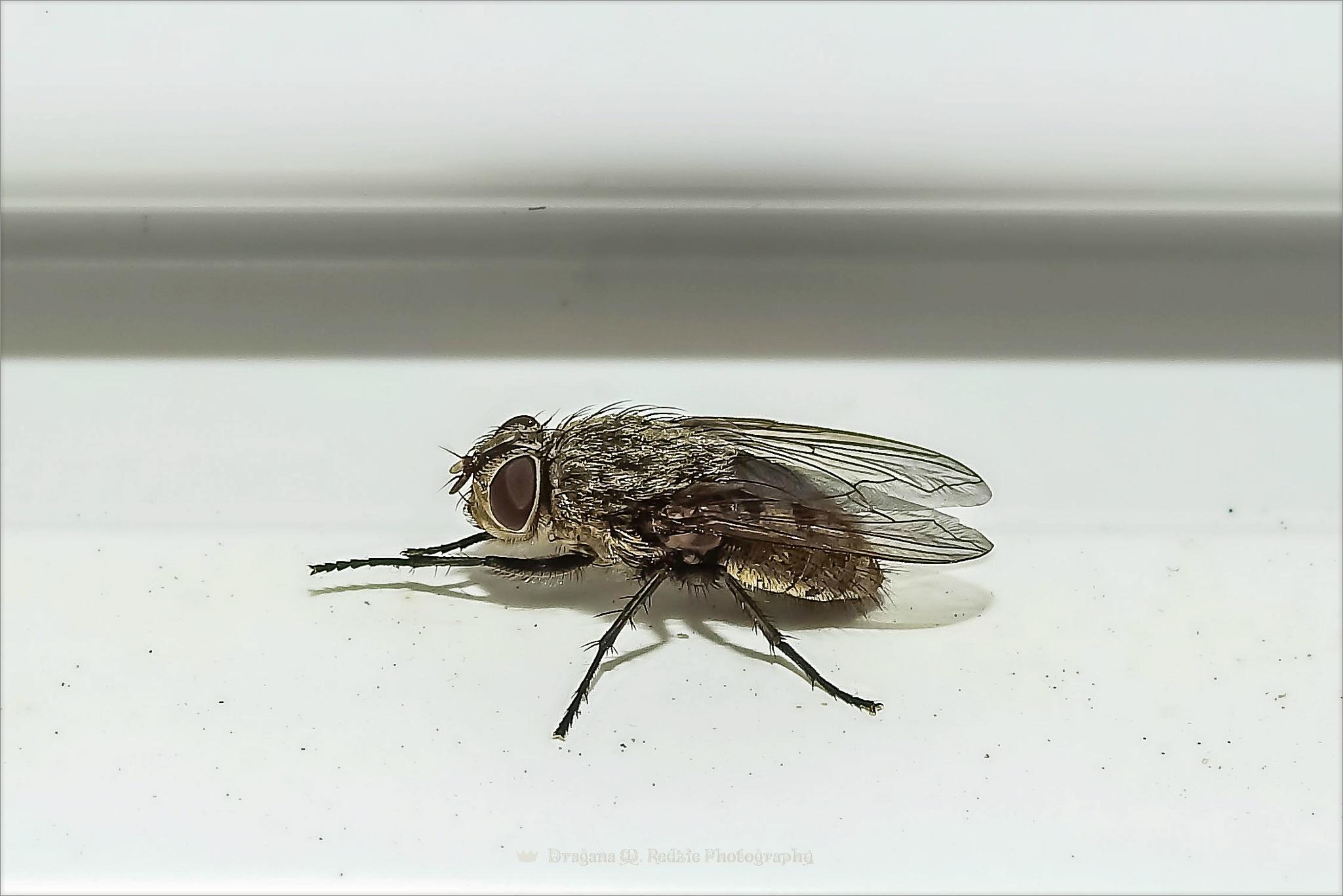 Fly  -  Pollenia rudis L. by Драгана М. Реџић