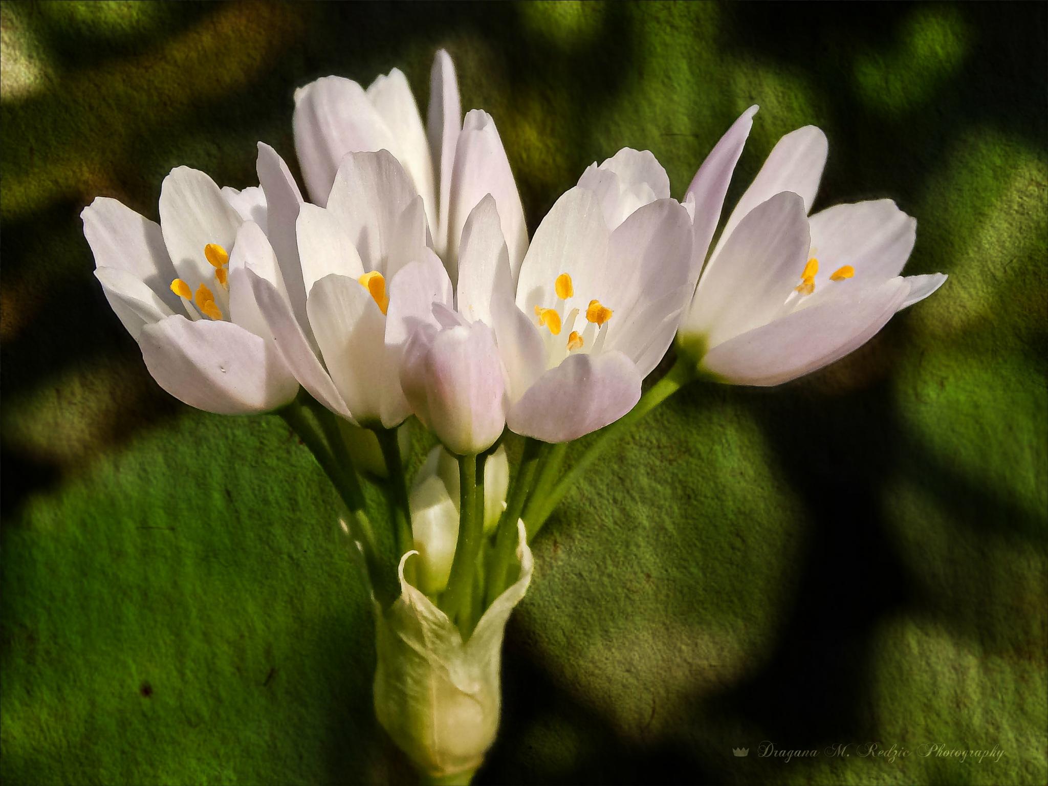 ''Rosy Garlic'' ~ Amaryllidacea: Allium Roseum L. by Драгана М. Реџић