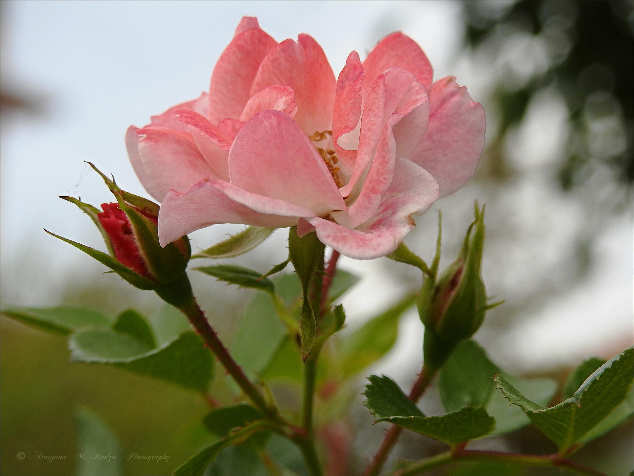 Rose creeper ... by Драгана М. Реџић