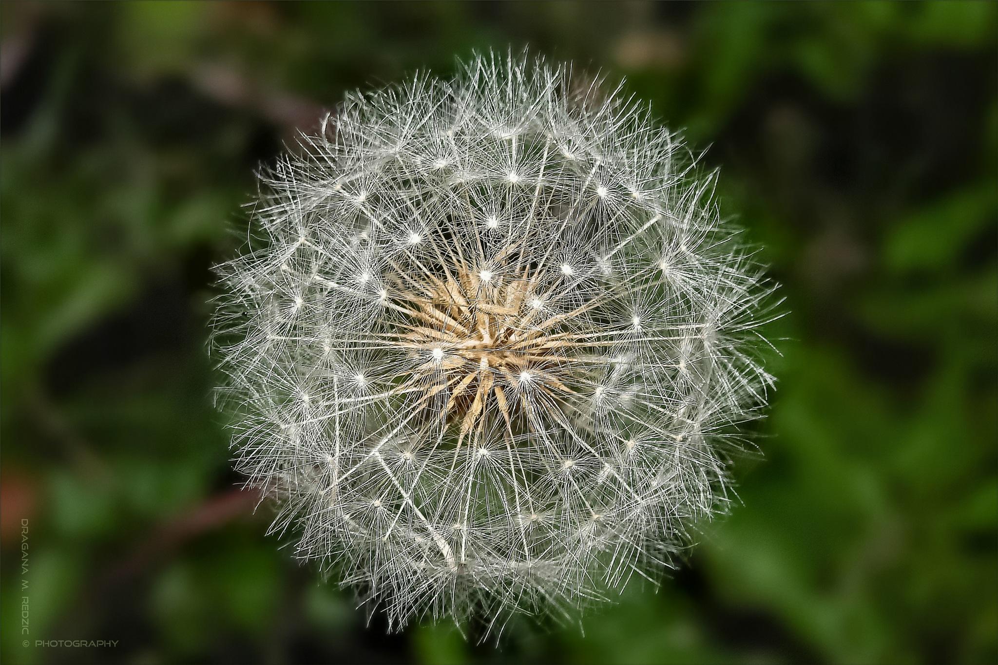 Dandelion (seeds)  ~  Taraxacum (seminis) by Драгана М. Реџић