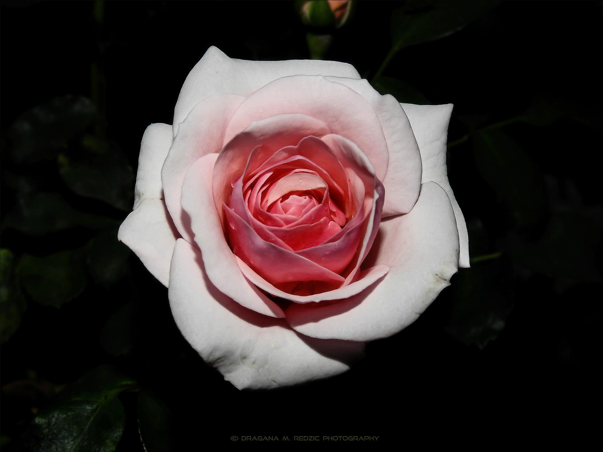 Just, rose ... by Драгана М. Реџић