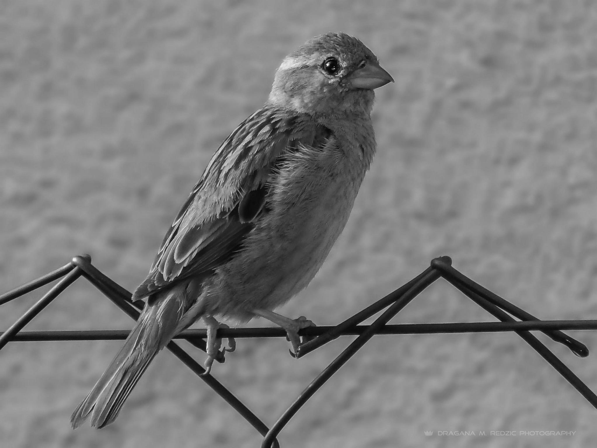 Sparrow (female) - Vrabac (ženka) - Passer domesticus (f.) L. by Драгана М. Реџић