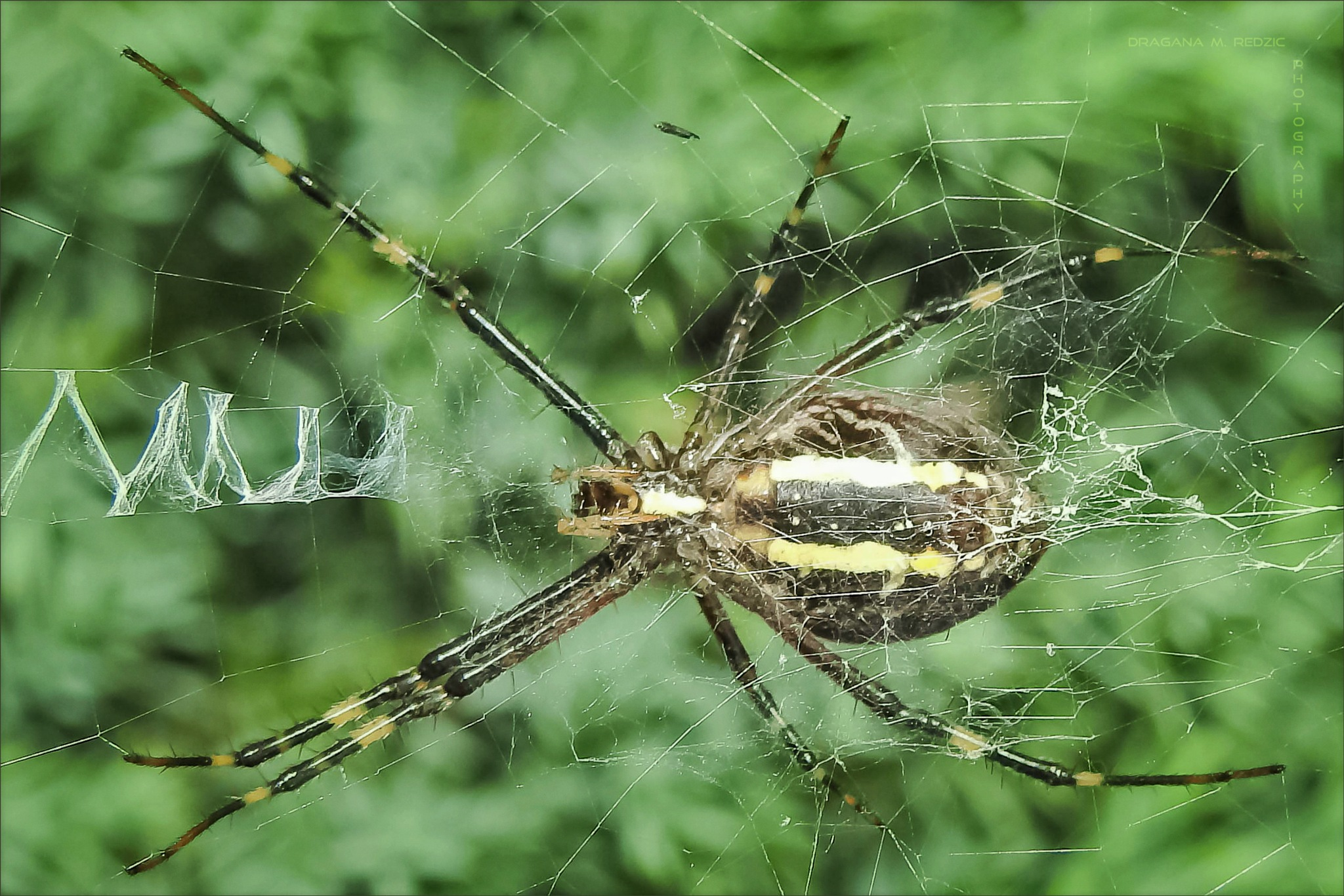 Pauk Osa (ženka - pogled odozdo) ~ Spider Wasp (female - view from below) ~ Argiope bruennichi (f.)L by Драгана М. Реџић
