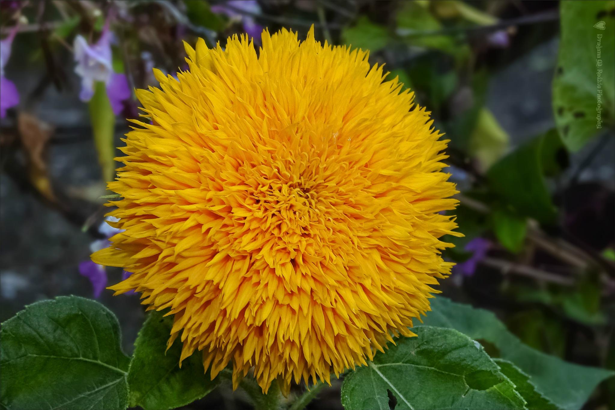 Ukrasni Suncokret - Decorative Sunflower ~ Helianthus annuus L. - Teddy Bear by Драгана М. Реџић