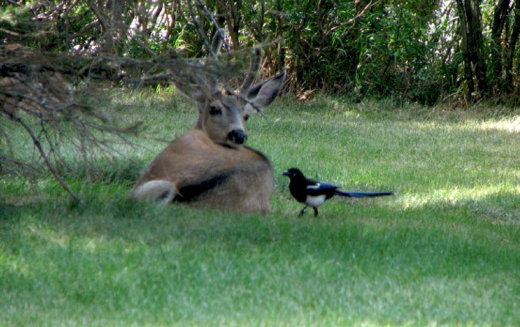 Deer, bird, Canadian, Glacier Nat Park by Donn Mowry