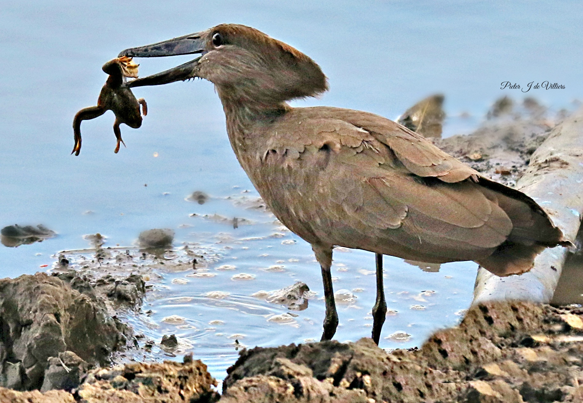 Photo in Animal #animals #birds #hammerkop #frog #food #catch #water #mapungubwe national park