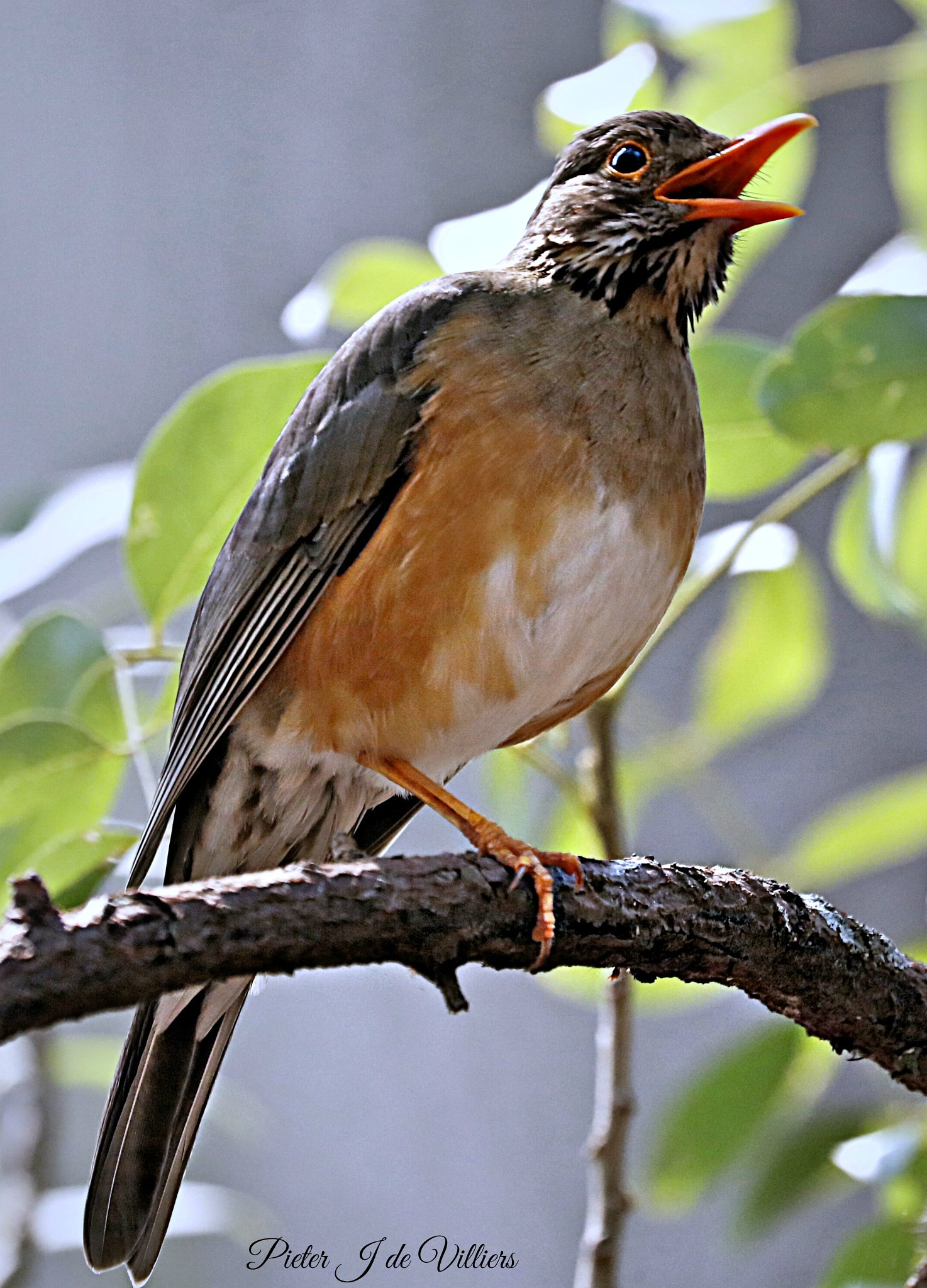 Singing Kurrichane Thrush by Pieter J de Villiers