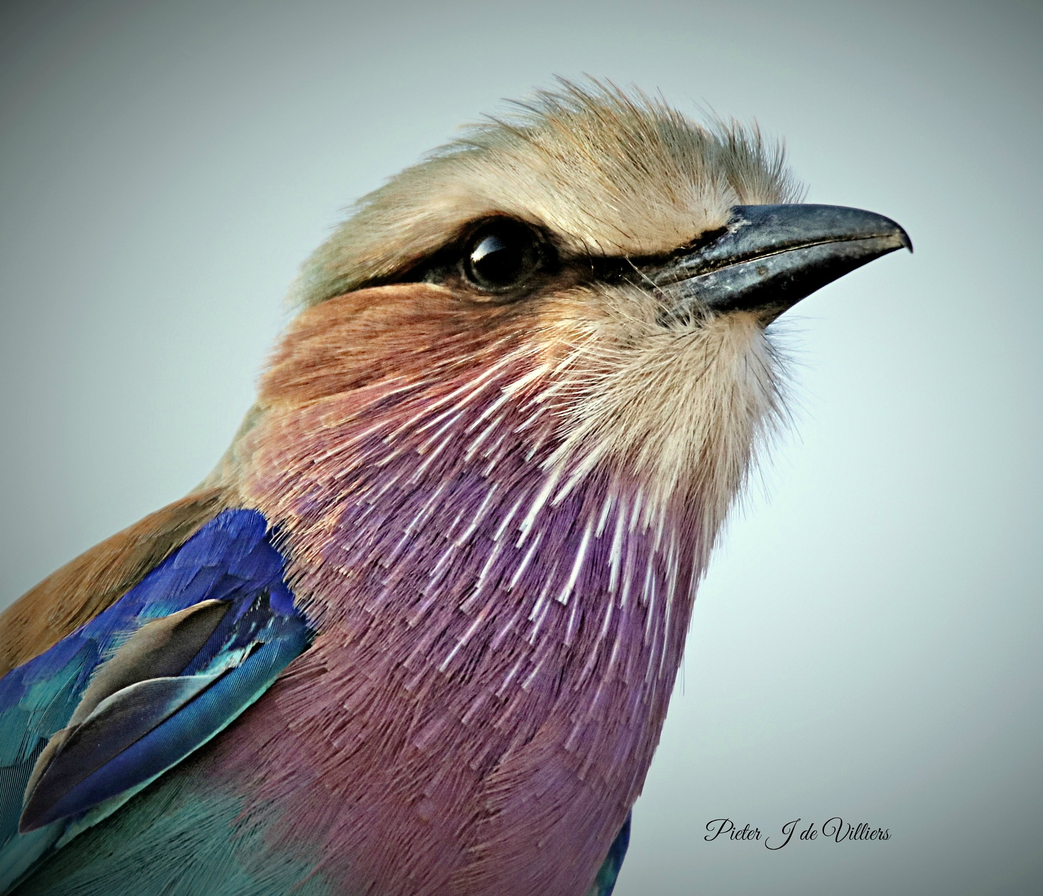Lilac-breasted Roller Close-up by Pieter J de Villiers
